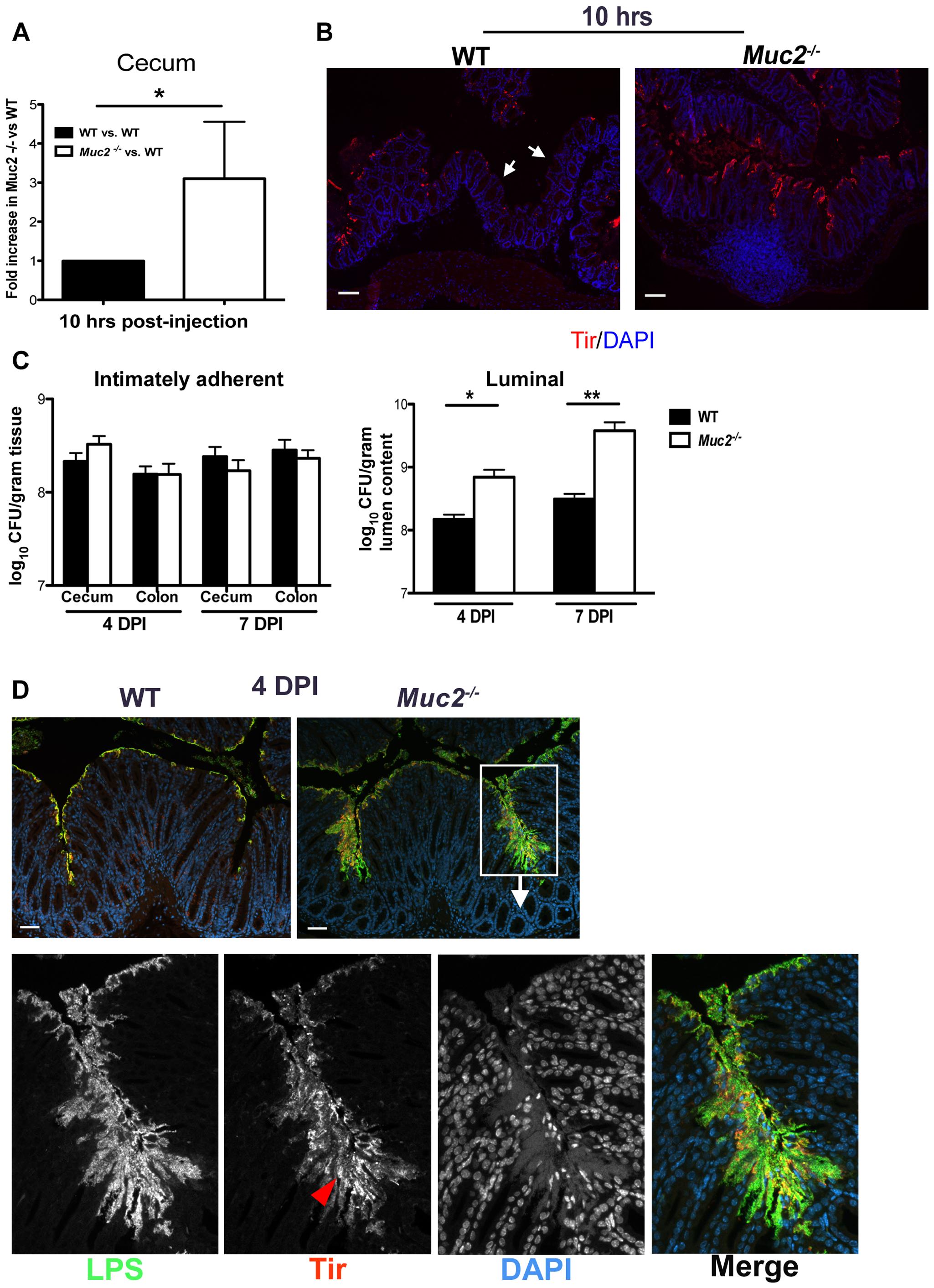 Muc2 limits initial colonization of the mucosal epithelia, but ultimately controls levels of luminal pathogen burdens.