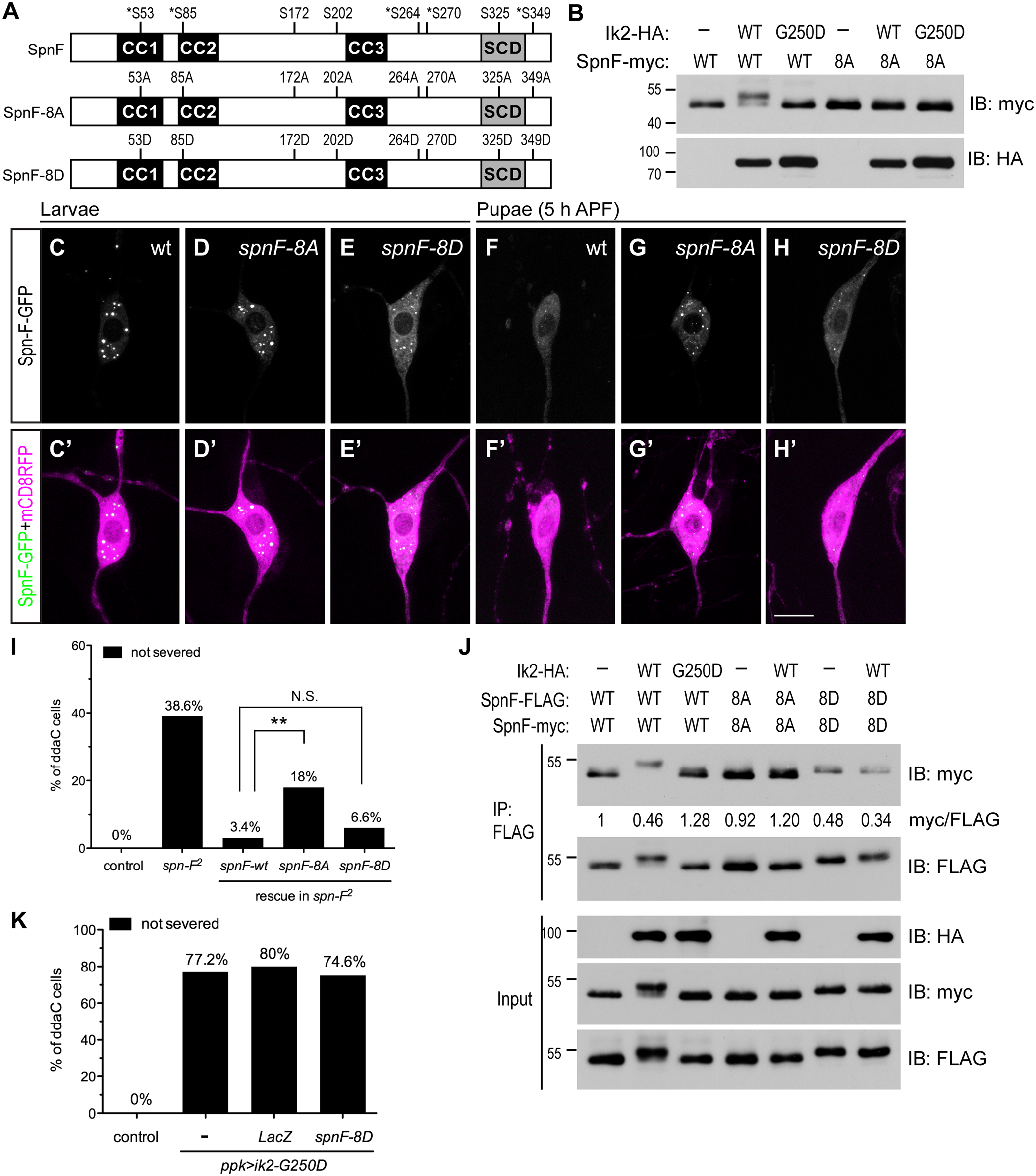 The phosphorylation of Spn-F by Ik2 kinase is required for Spn-F distribution and dendrite pruning.