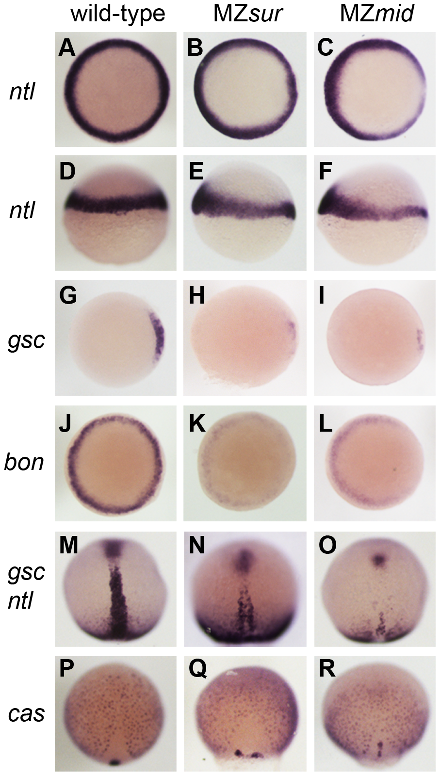 Nodal-dependent tissue specification is differentially disrupted in <i>FoxH1</i> mutants.
