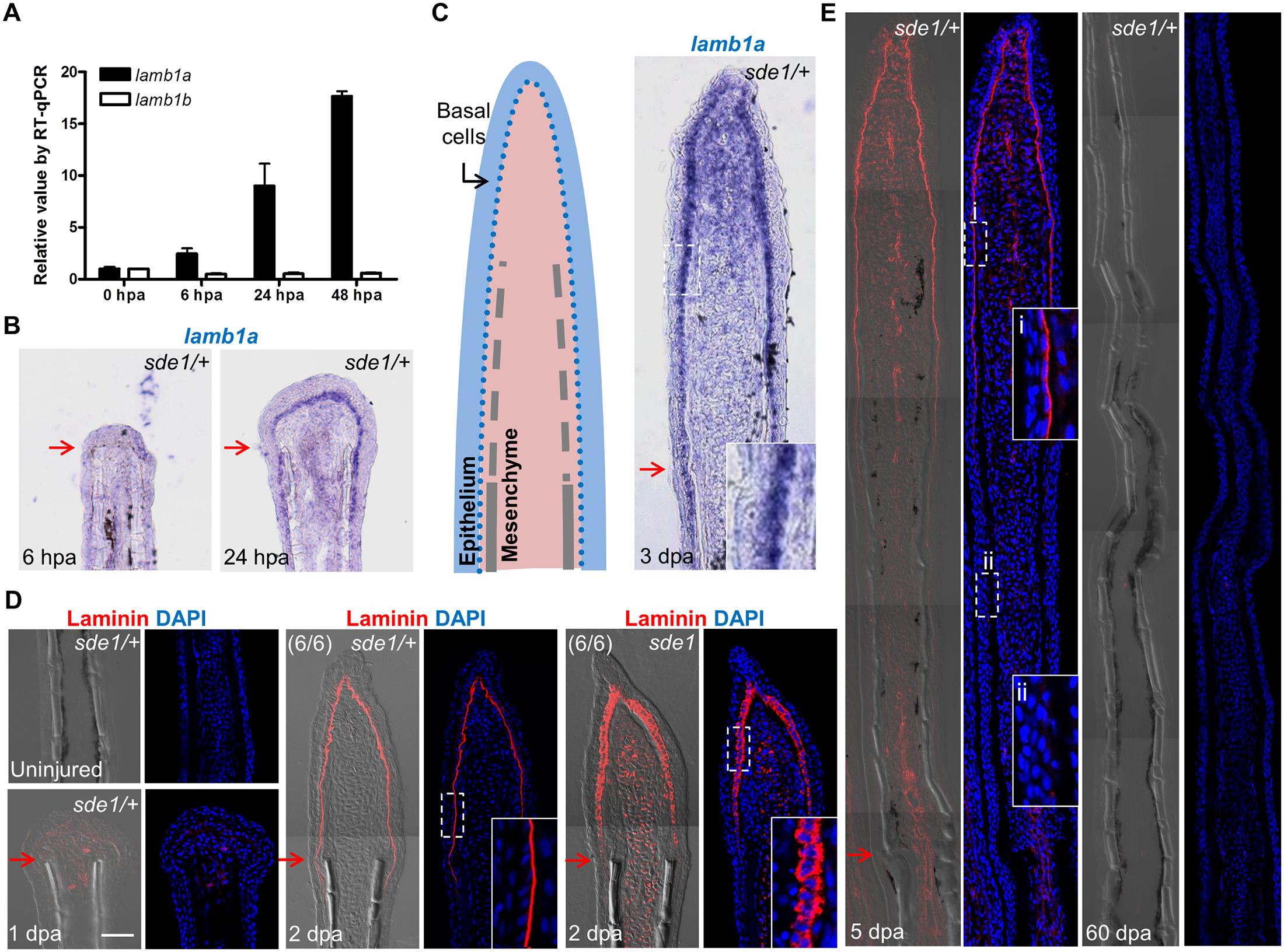 <i>lamb1a</i>, not <i>lamb1b</i>, is induced during regeneration.