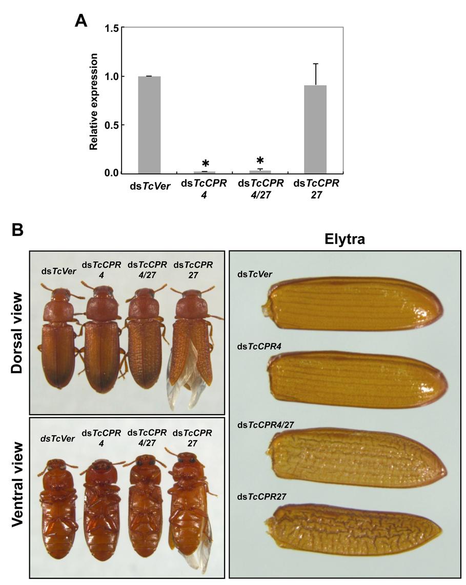 Injection of ds<i>TcCPR4</i> prevents severe elytral morphological defects produced by RNAi for <i>TcCPR27</i>.