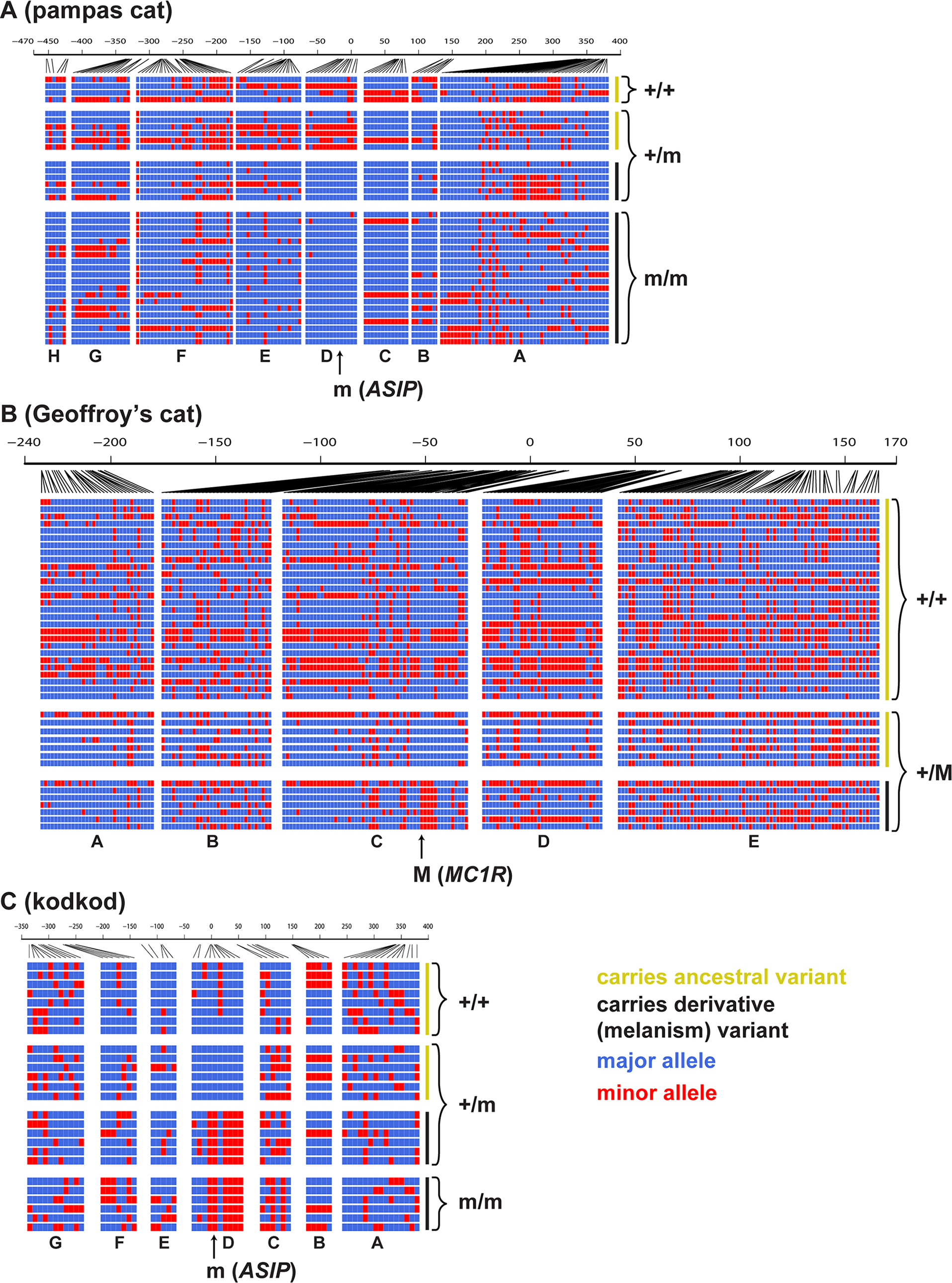 Haplotype structures for melanism loci for pampas cat (A), Geoffroy's cat (B), and kodkod (C), arranged according to whether they carry an ancestral (yellow) or derivative (black) allele at the causative position, and whether they were observed in a non-melanistic (+/+, +/m) or melanistic (m/m, +/M) individual.