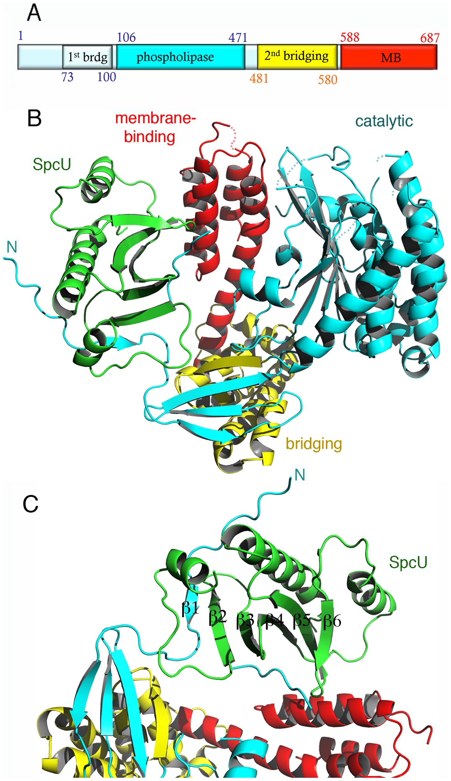 The crystal structure of ExoU in complex with its chaperone SpcU.