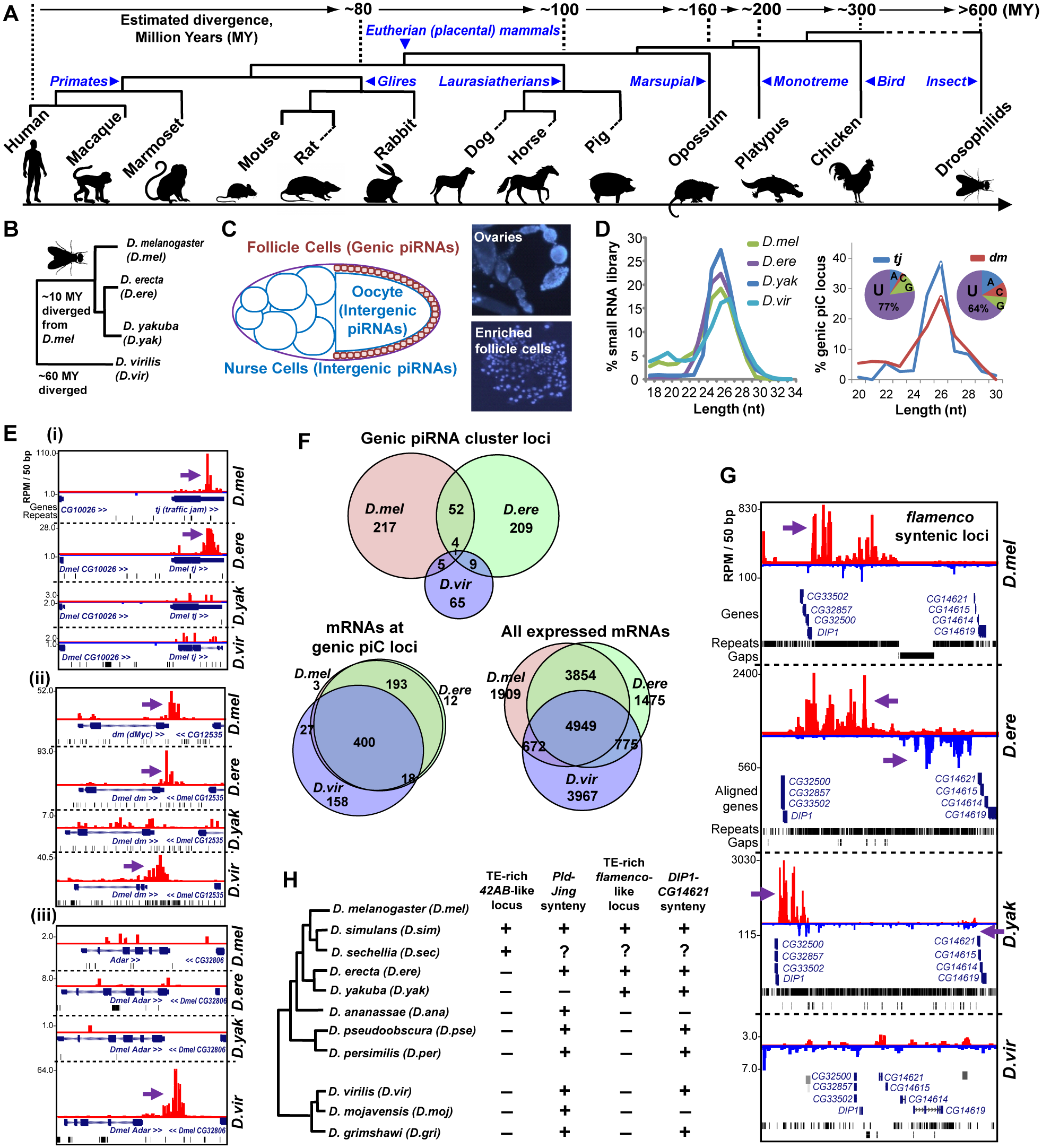 Comparative genomics of piRNA cluster (piC) loci and rapid evolution of piC loci expression patterns in Drosophilids.