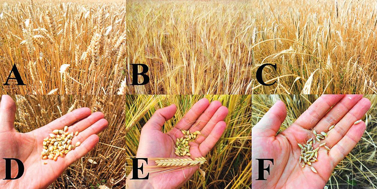 Ide o niektoré obilniny, ktoré sú nevhodné pre výživu celiatikov Pohľad na <b>A</b>: pšeničné, <b>B</b>: jačmenné a <b>C</b>: ražné pole aj s detailnejším záberom na <b>D</b>: pšeničné, <b>E</b>: jačmenné a <b>F</b>: ražné zrná.