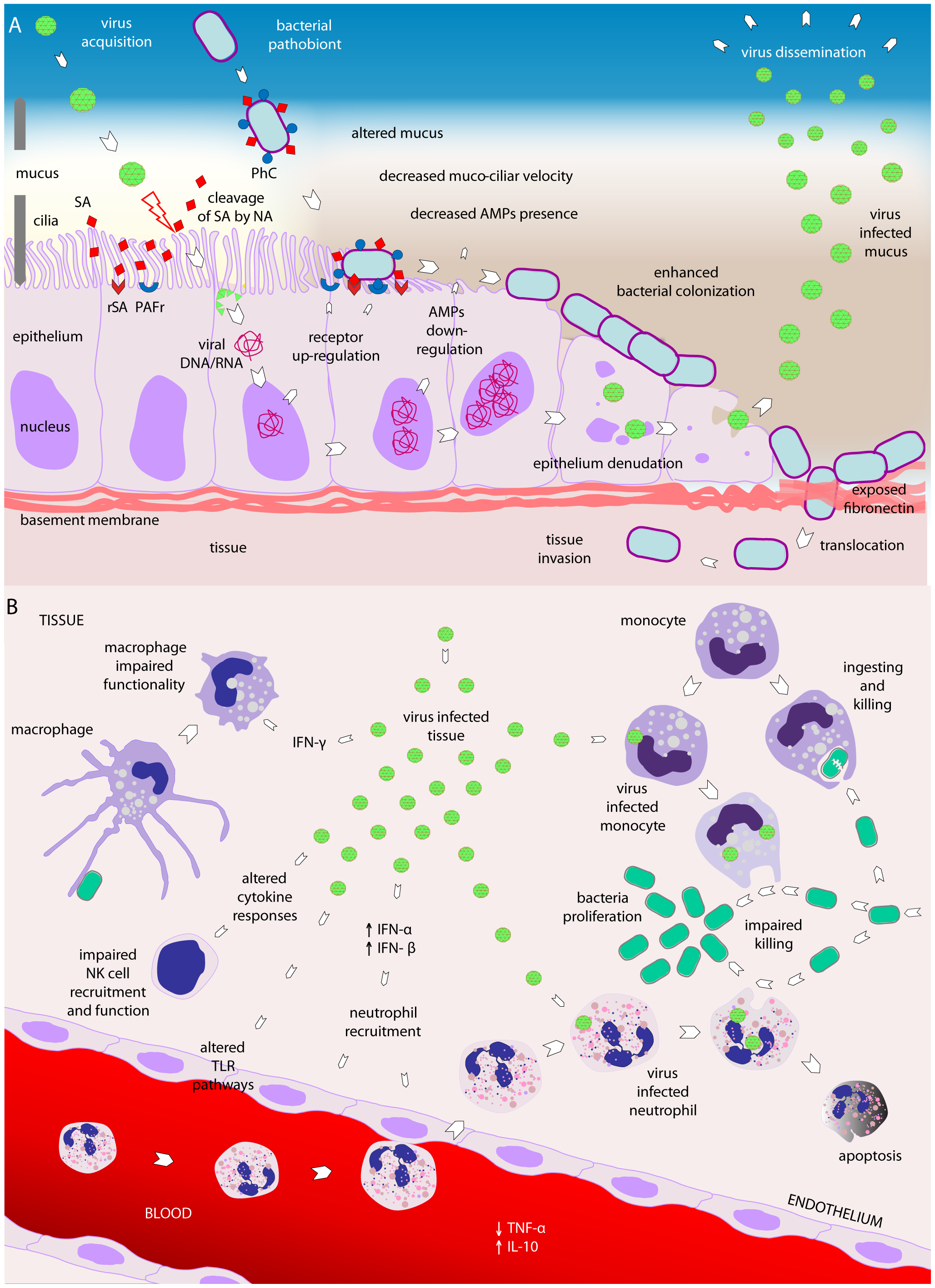 Viral–bacterial interactions.