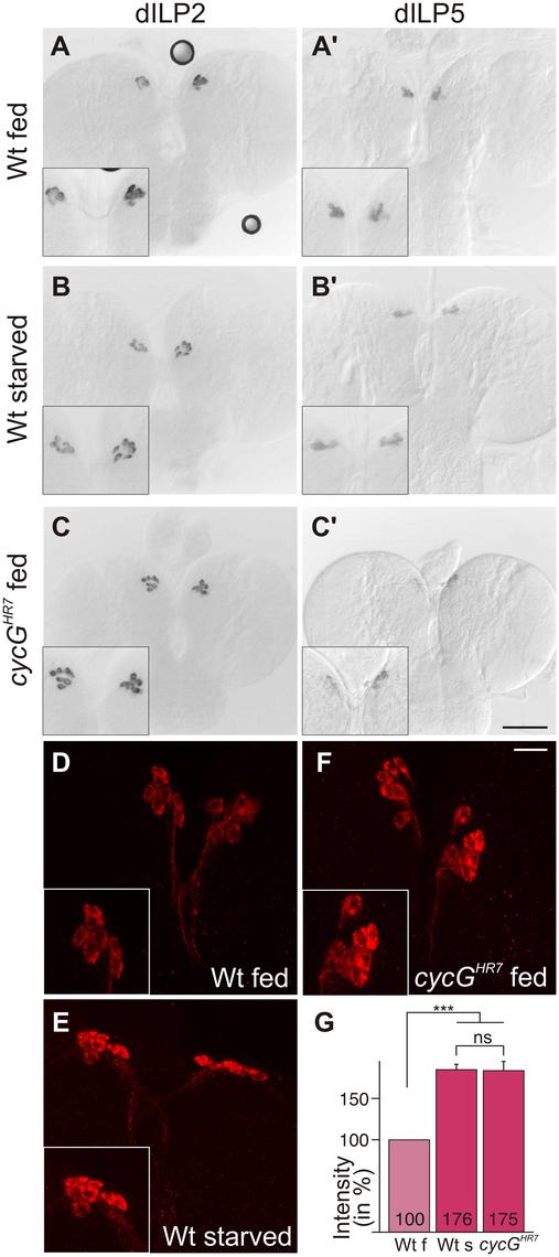 Disturbed dILP accumulation in <i>cycG</i><sup><i>HR7</i></sup> mutant larvae.