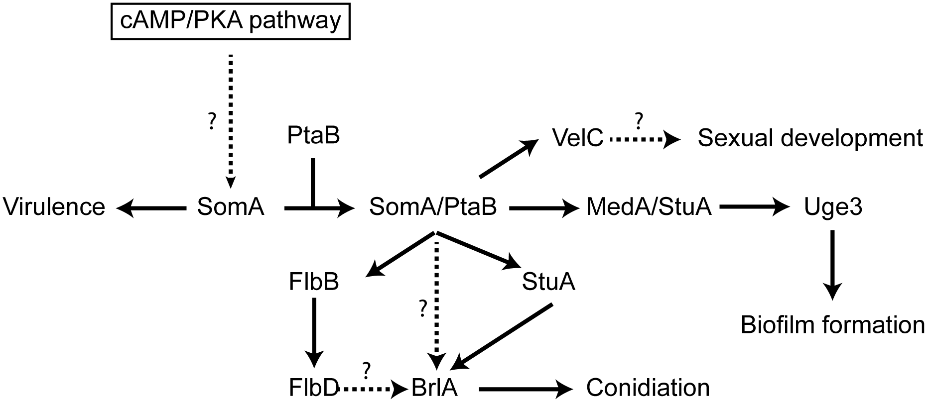 Model of the SomA and SomA-PtaB genetic network in <i>A</i>. <i>fumigatus</i>.