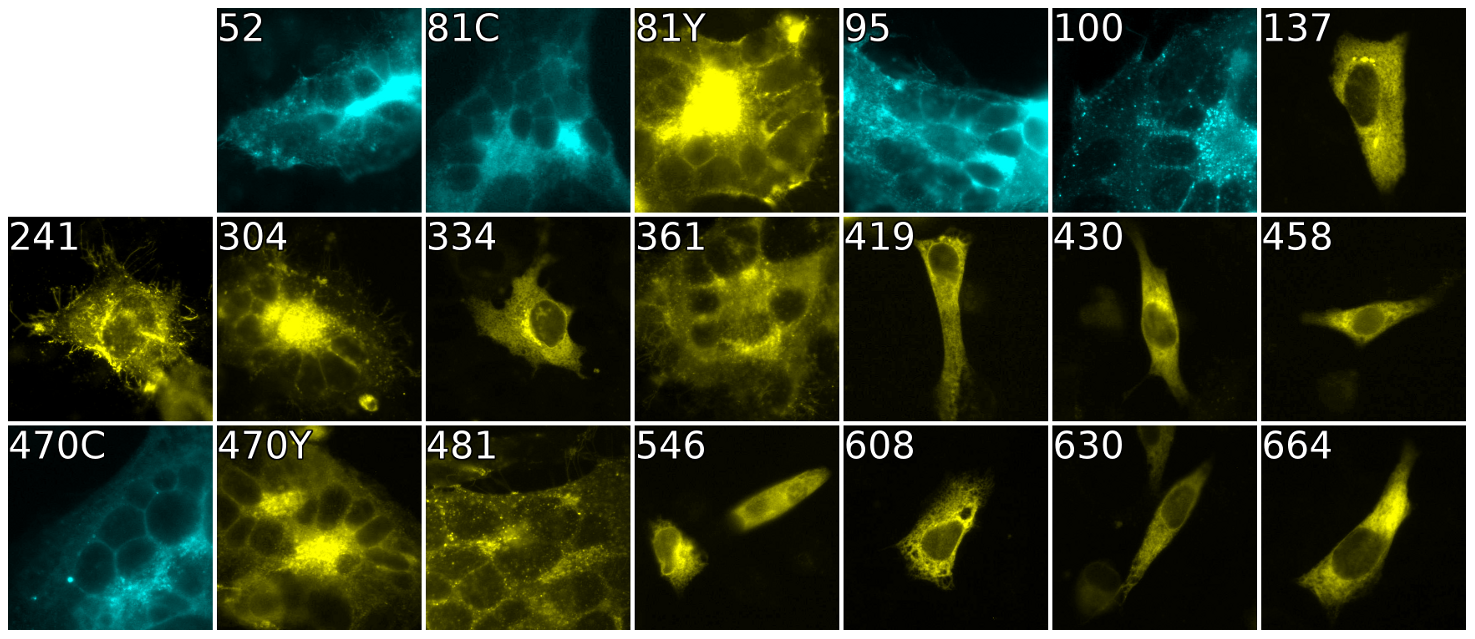Cell-cell fusion with fluorescent gB constructs.