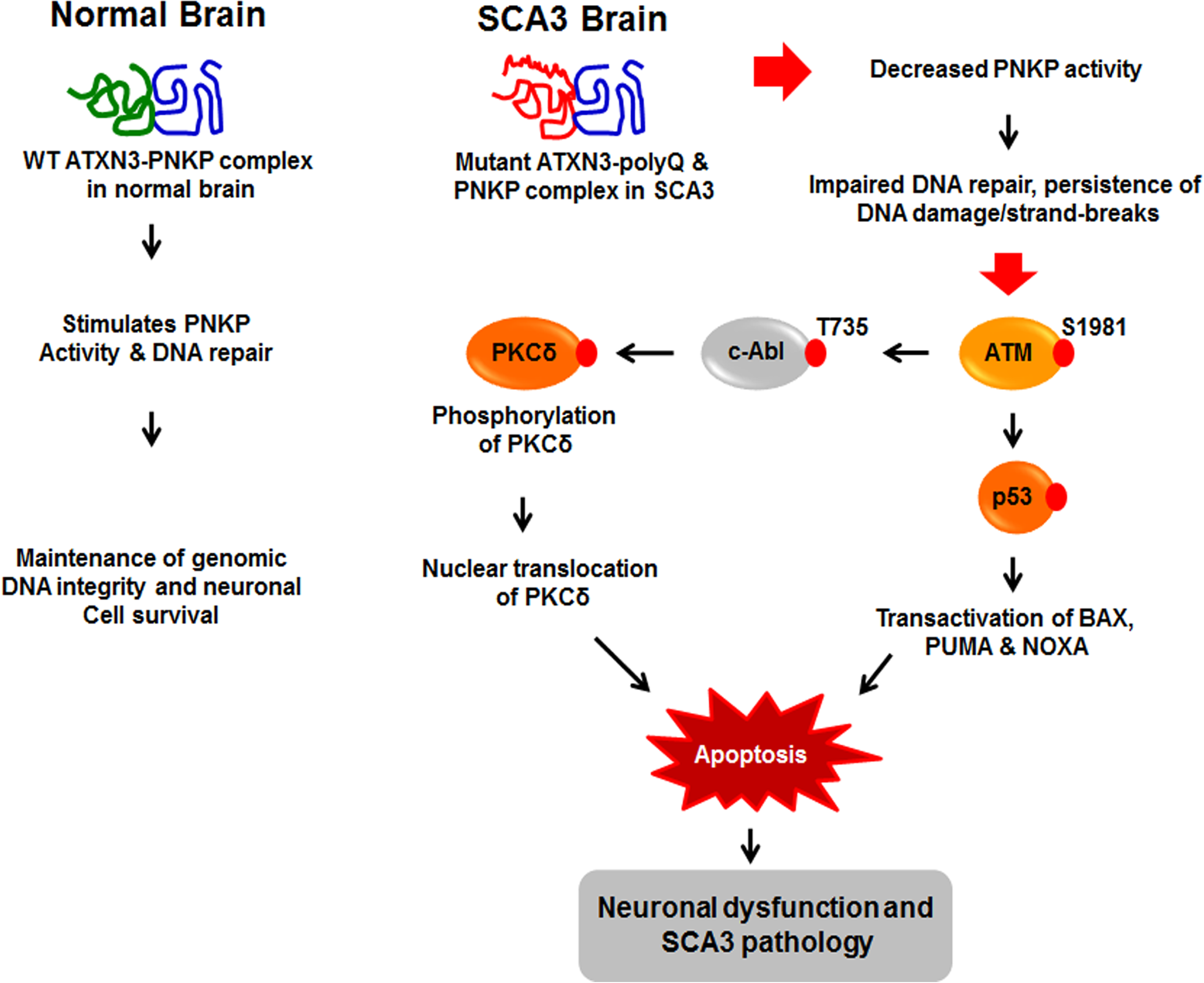 Proposed mechanism where interaction of PNKP with mutant expanded polyQ-containing ATXN3 abrogates PNKP's 3'-phosphatase activity.