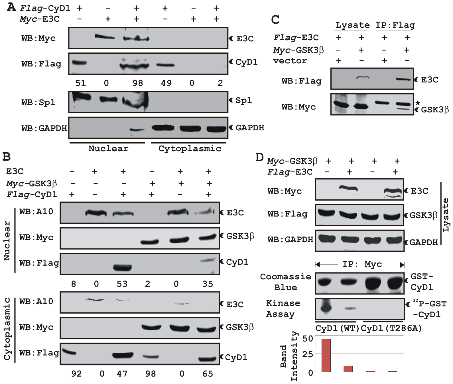 EBNA3C bypasses GSK3β dependent nuclear export of Cyclin D1.