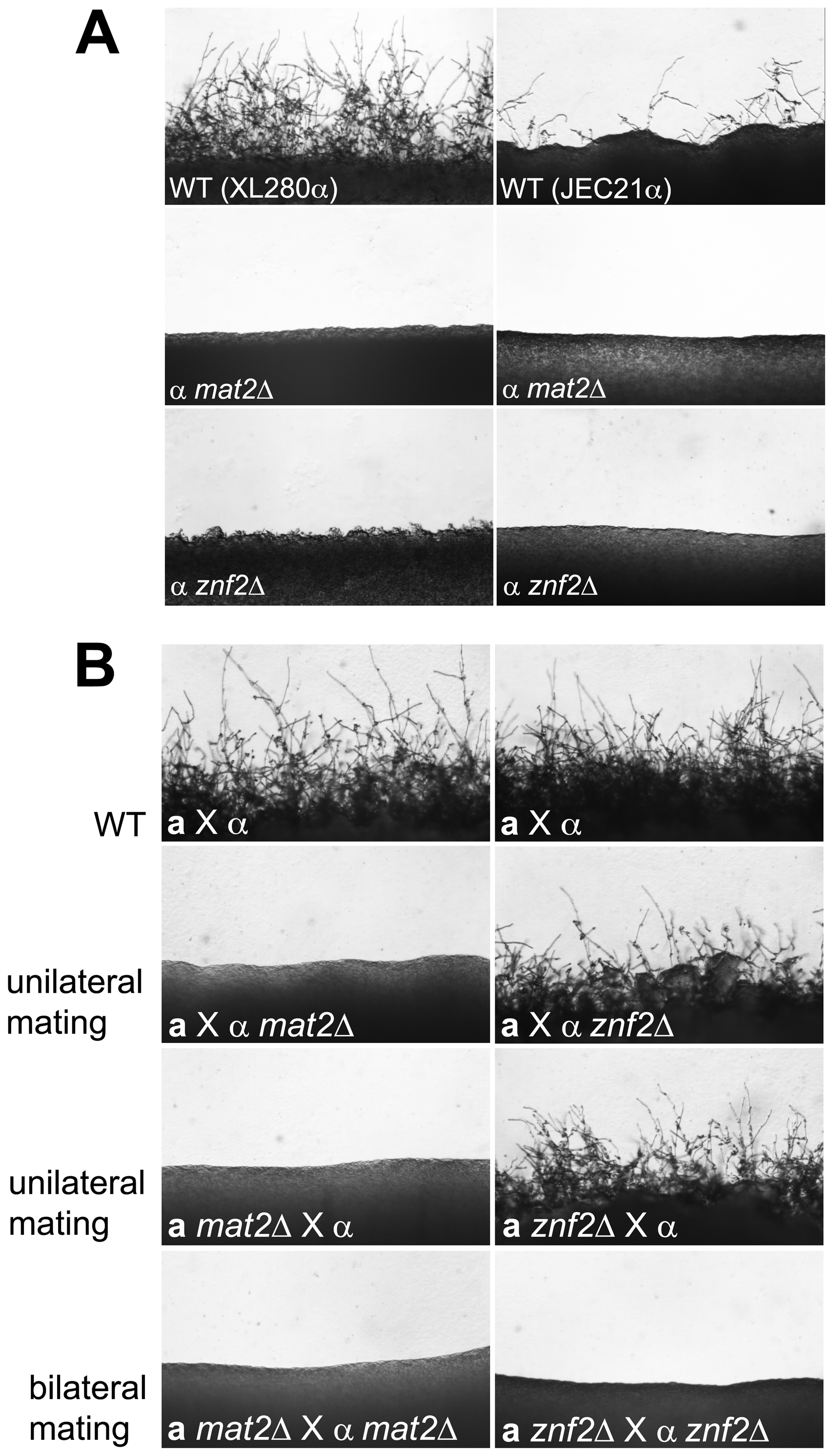 Deletion of either the <i>MAT2</i> or the <i>ZNF2</i> gene impairs filamentation during a-α and α-α mating.