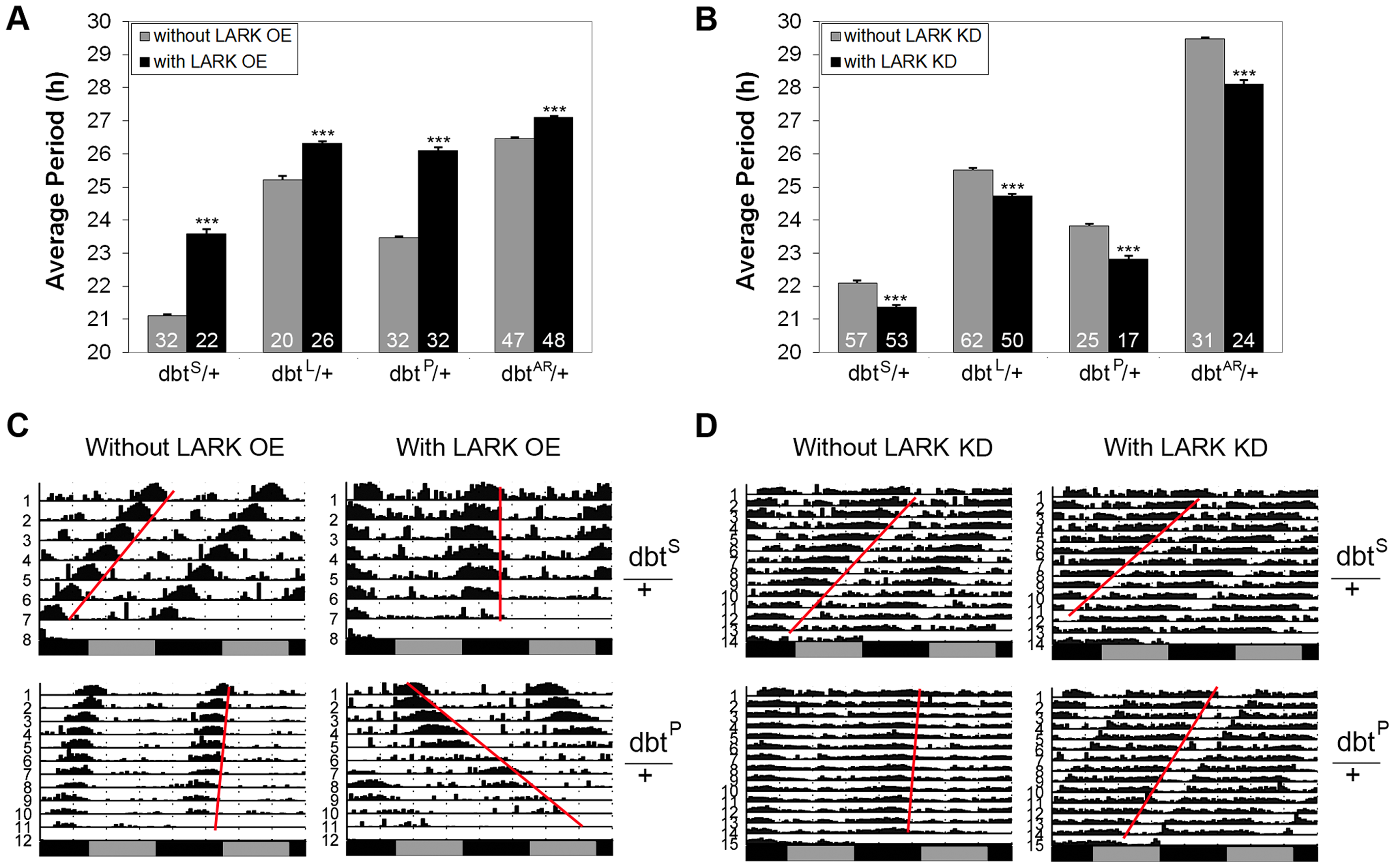 Interactions between <i>lark</i> and <i>dbt</i> modulate circadian period.