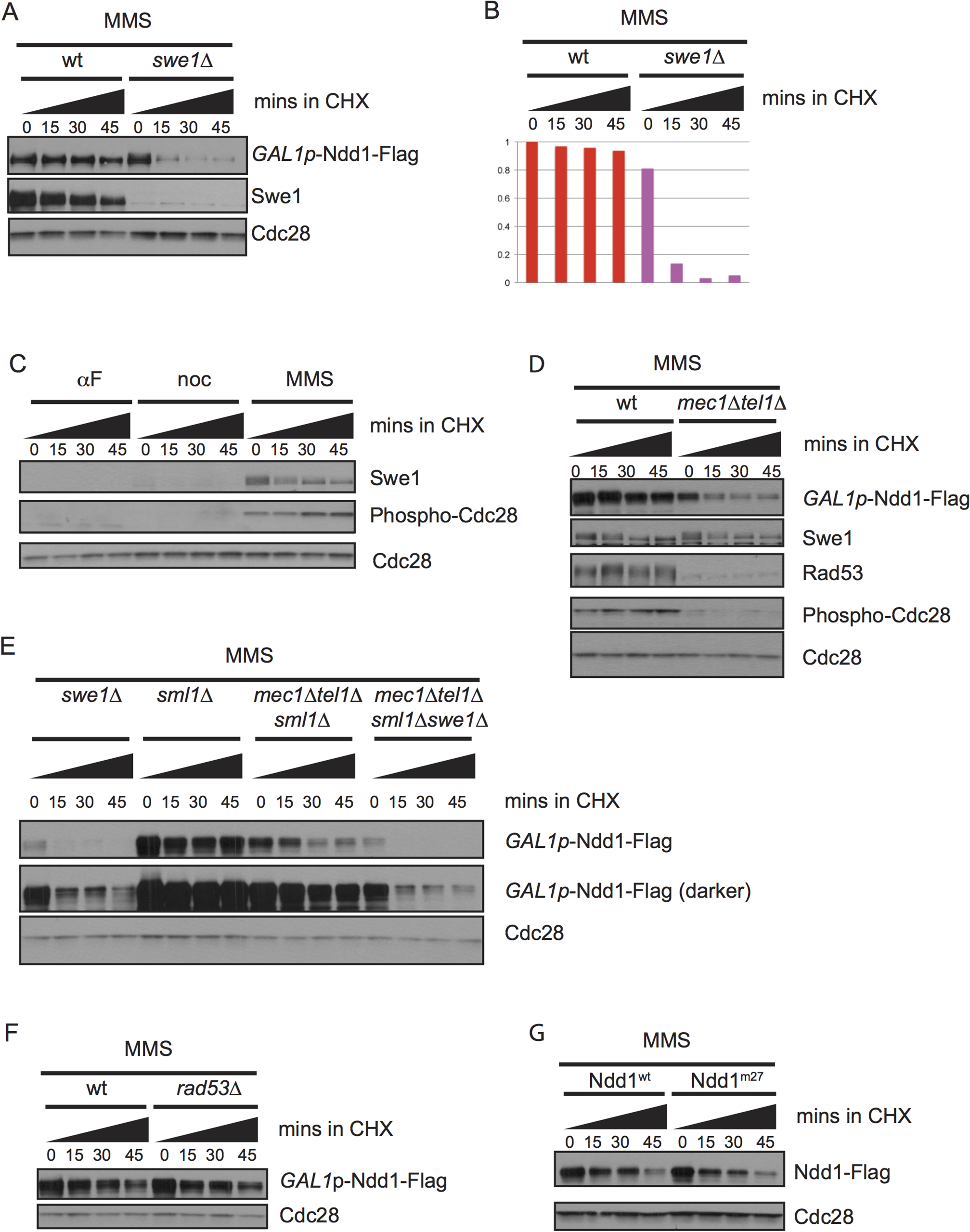 Ndd1 stabilization in response to DNA damage requires Swe1 and Mec1/Tel1.