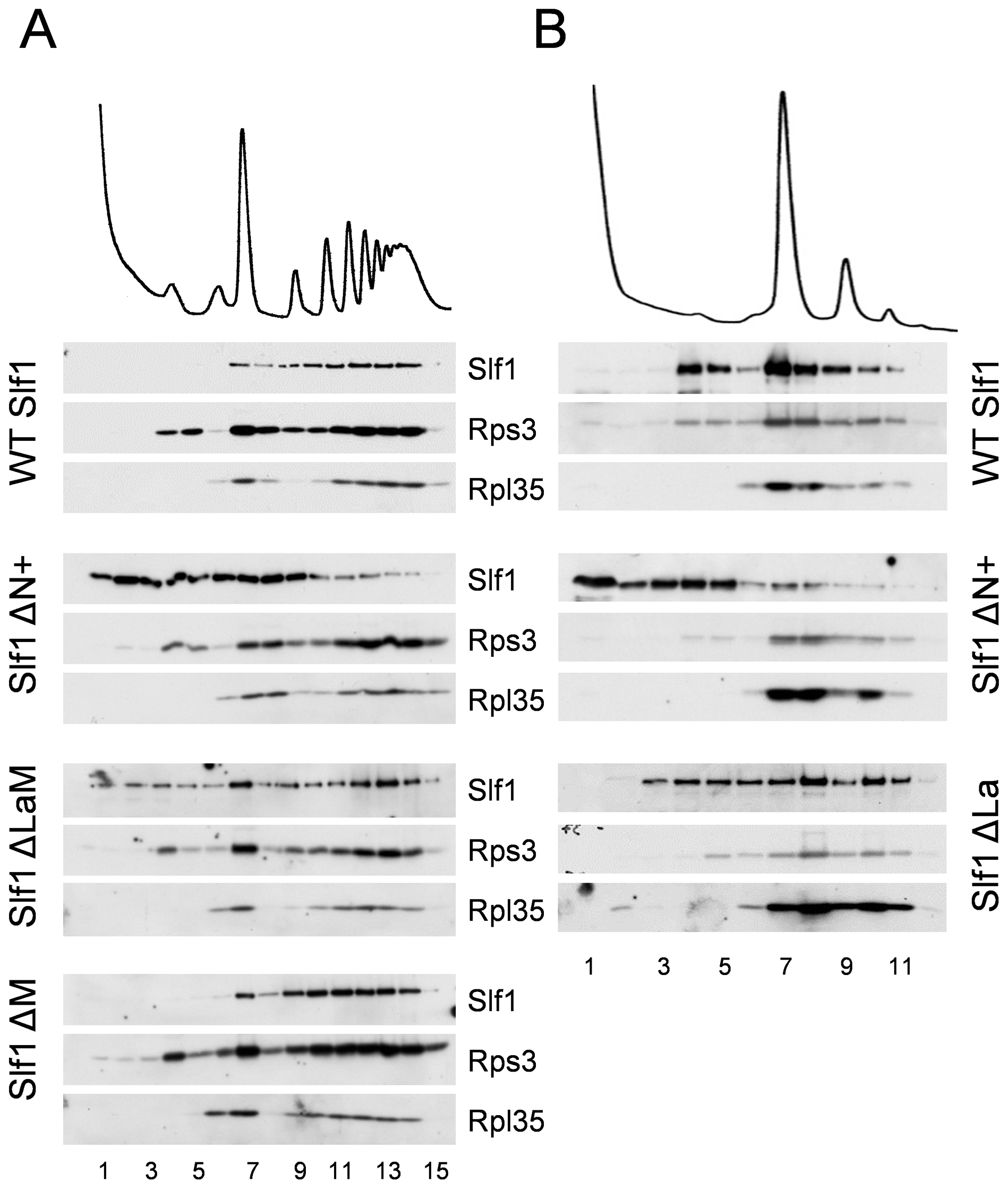 Slf1p associates with ribosomes independently of the La motif.