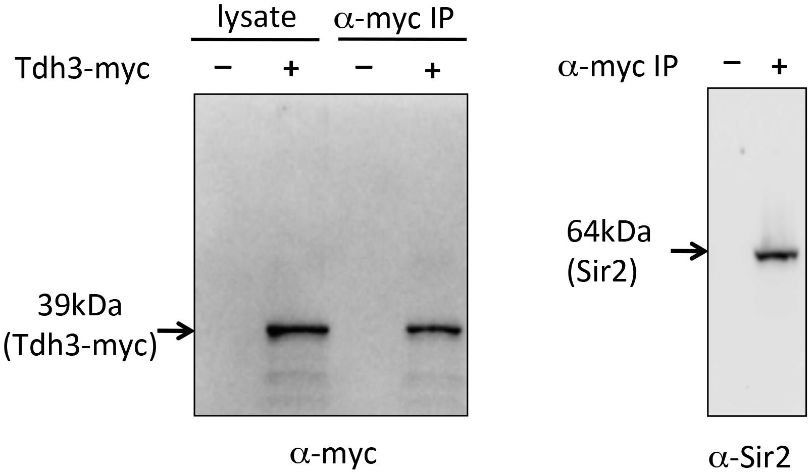 Co-immunoprecipitation of Tdh3 and Sir2.