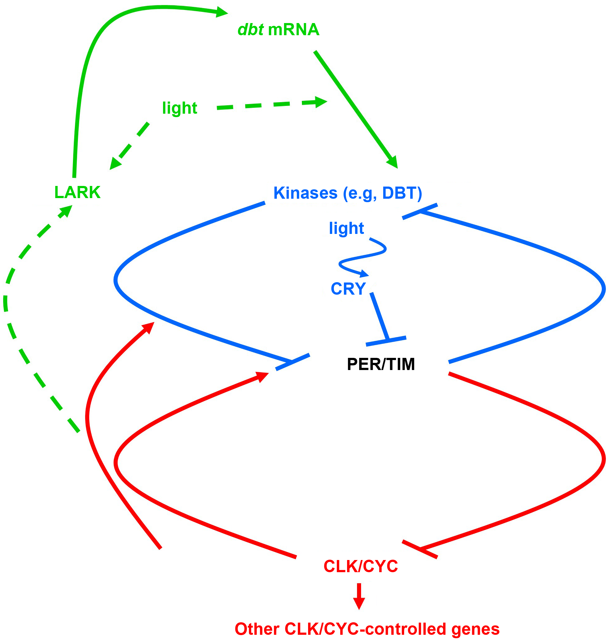 The molecular mechanism for the <i>Drosophila</i> circadian clock.