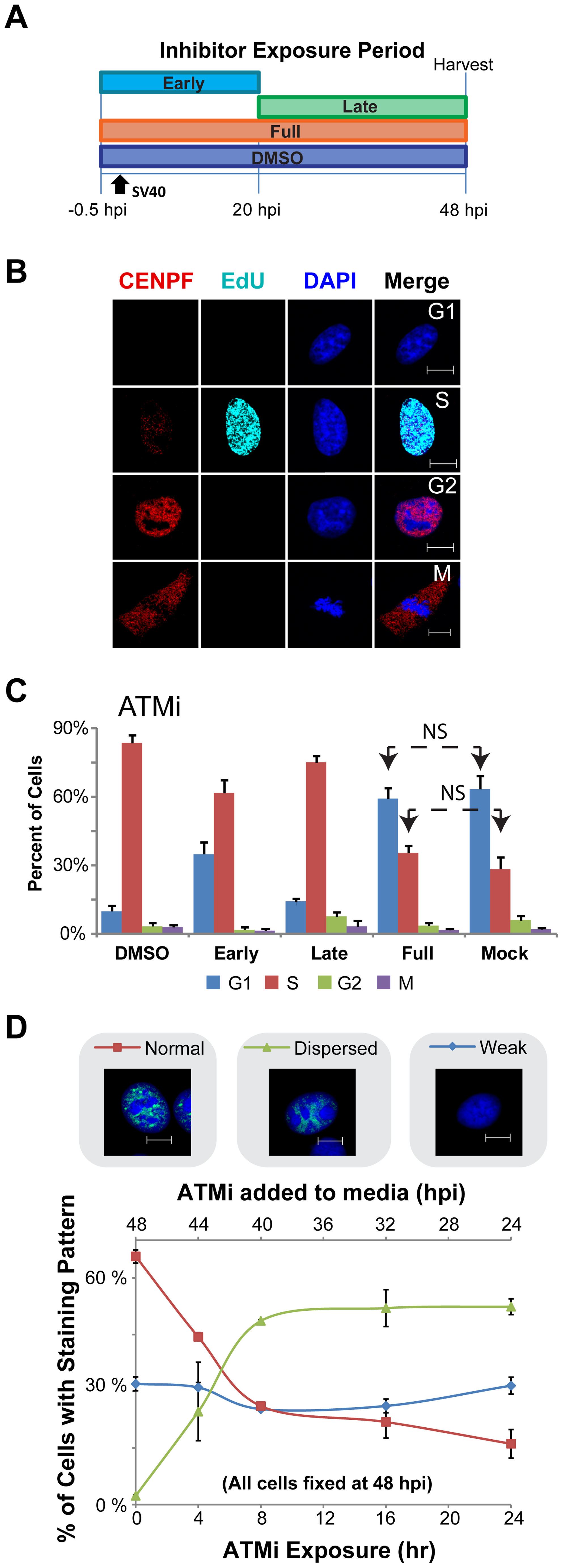ATM contributes to S phase arrest during SV40 infection in BSC40 cells.