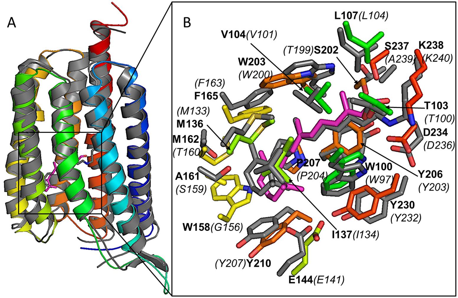 Xanthorhodopsin structural modeling.
