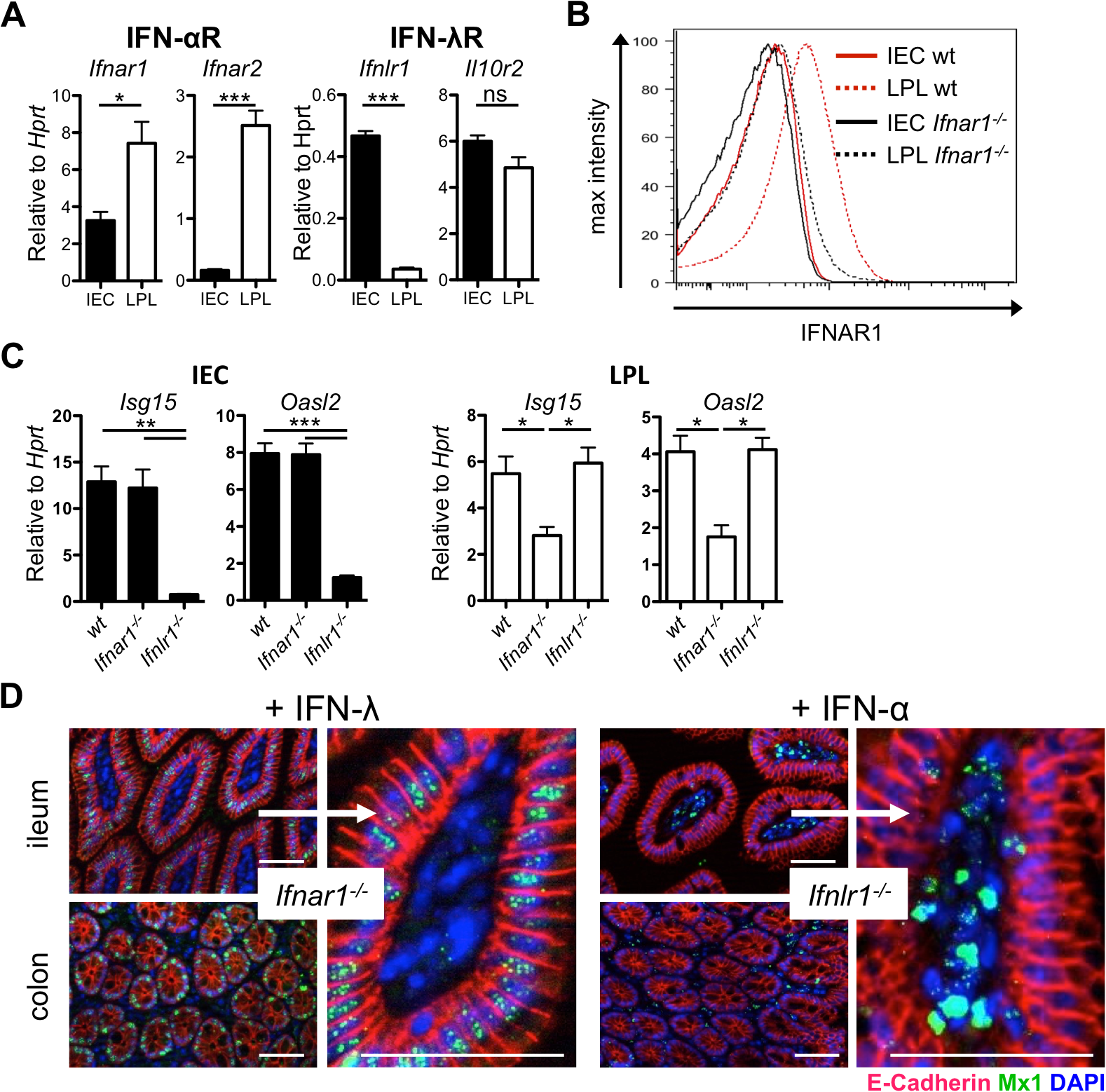 Intestinal epithelial cells minimally express IFN-α/β receptor and do not respond to type I IFN.