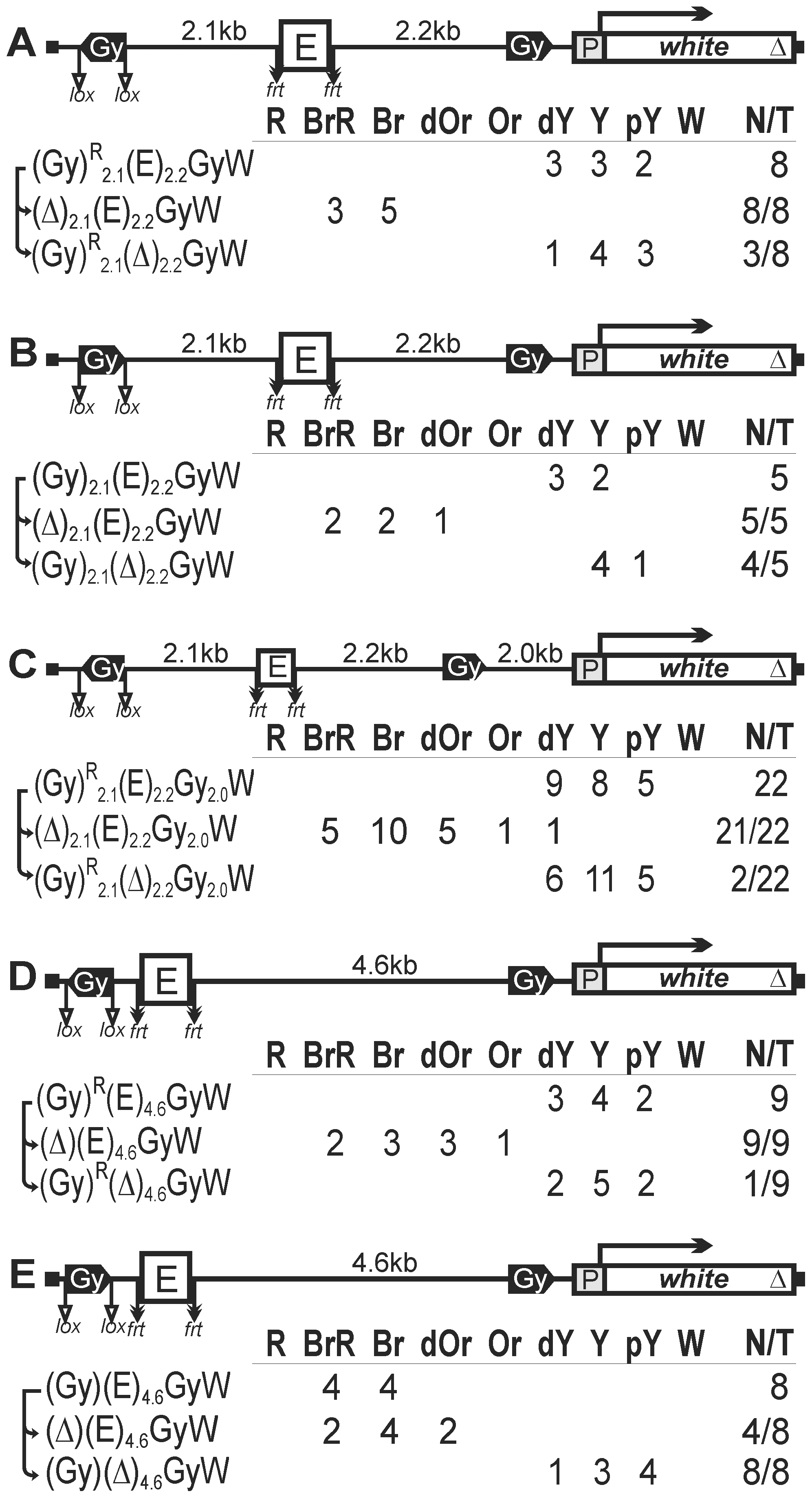 The role of <i>gypsy</i> orientation and distance between <i>gypsy</i> insulators in blocking the eye enhancer.