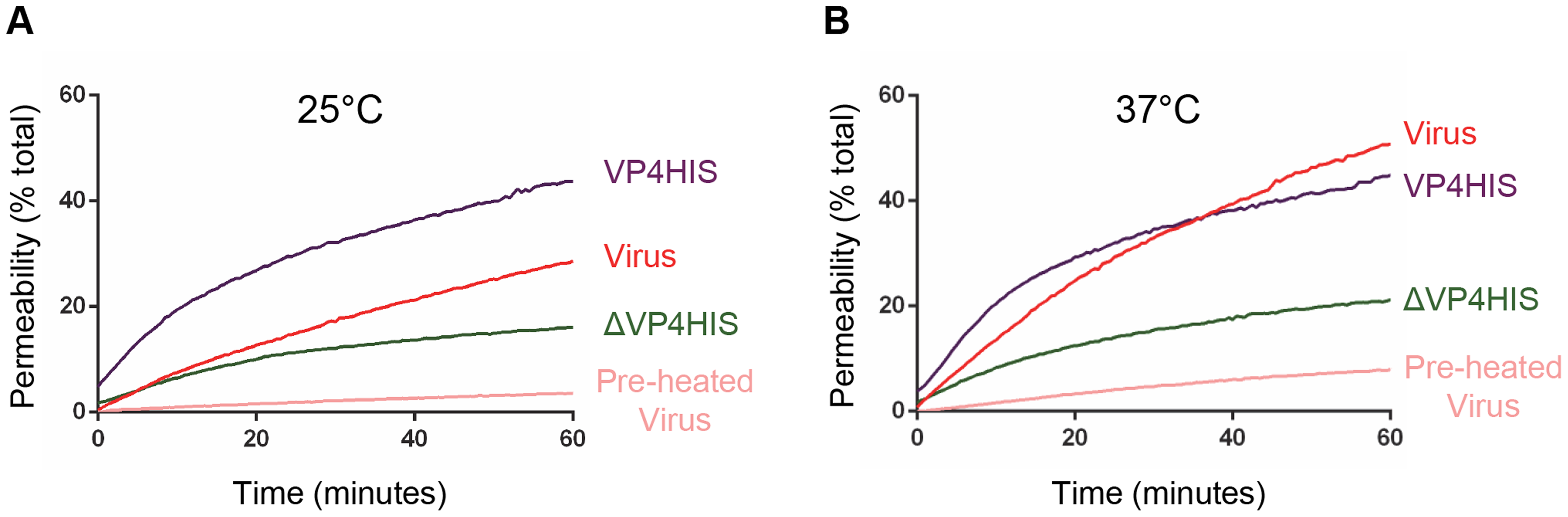 VP4-induced permeability is comparable to that of virus.