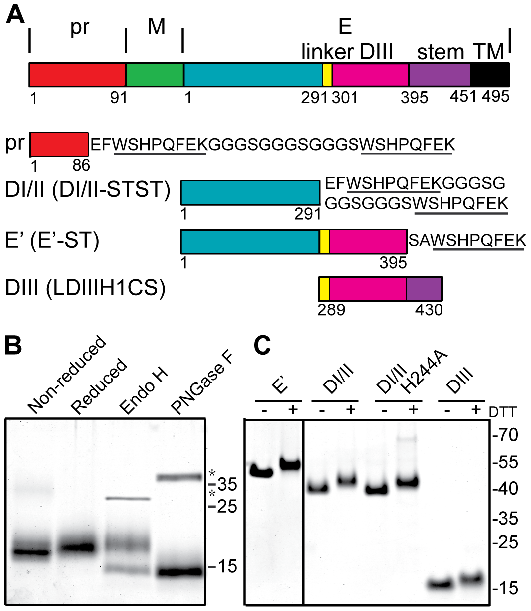 Expression and purification of DENV2 pr and truncated E proteins.
