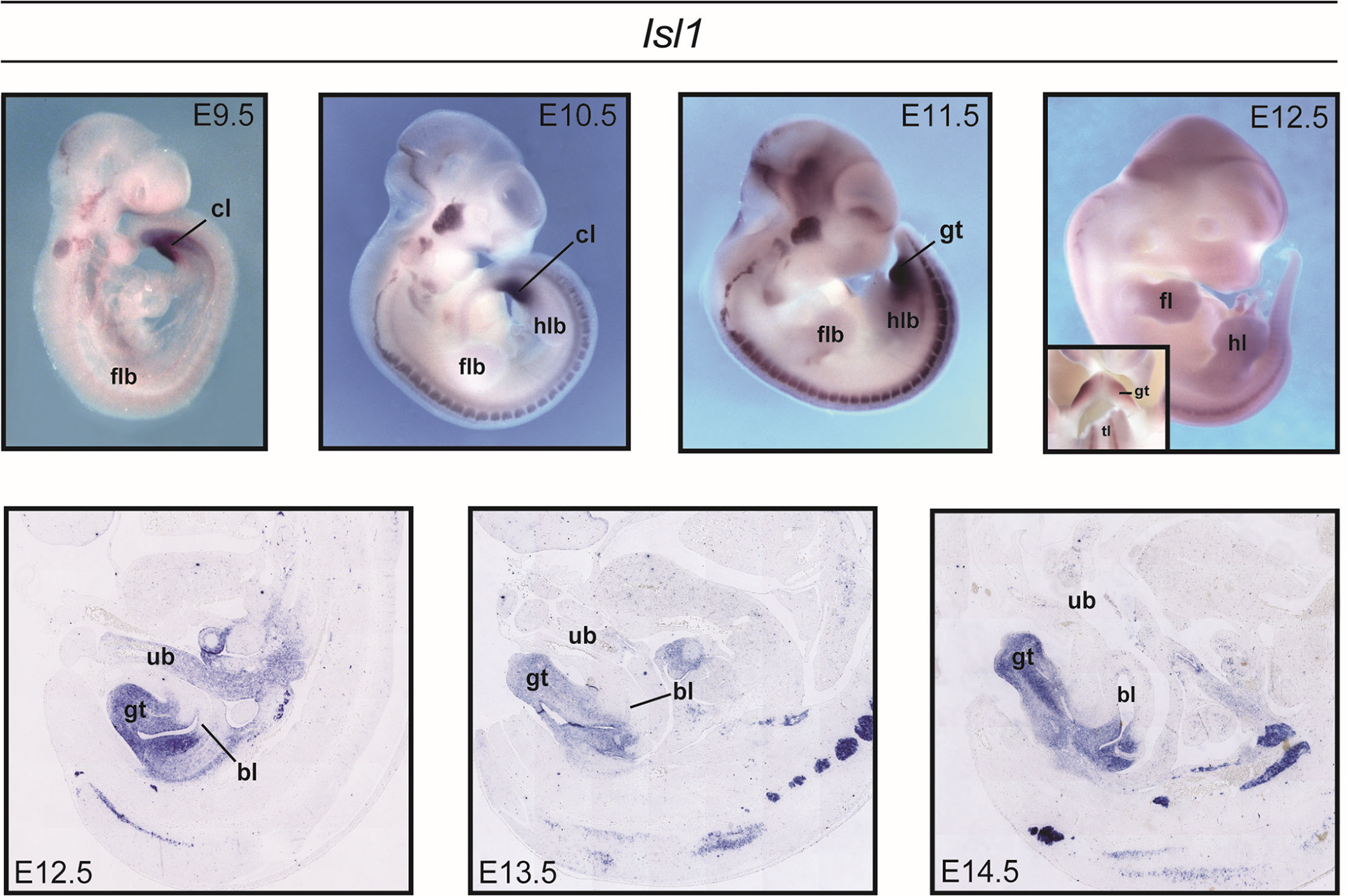 Expression of <i>Isl1</i> during mouse development.