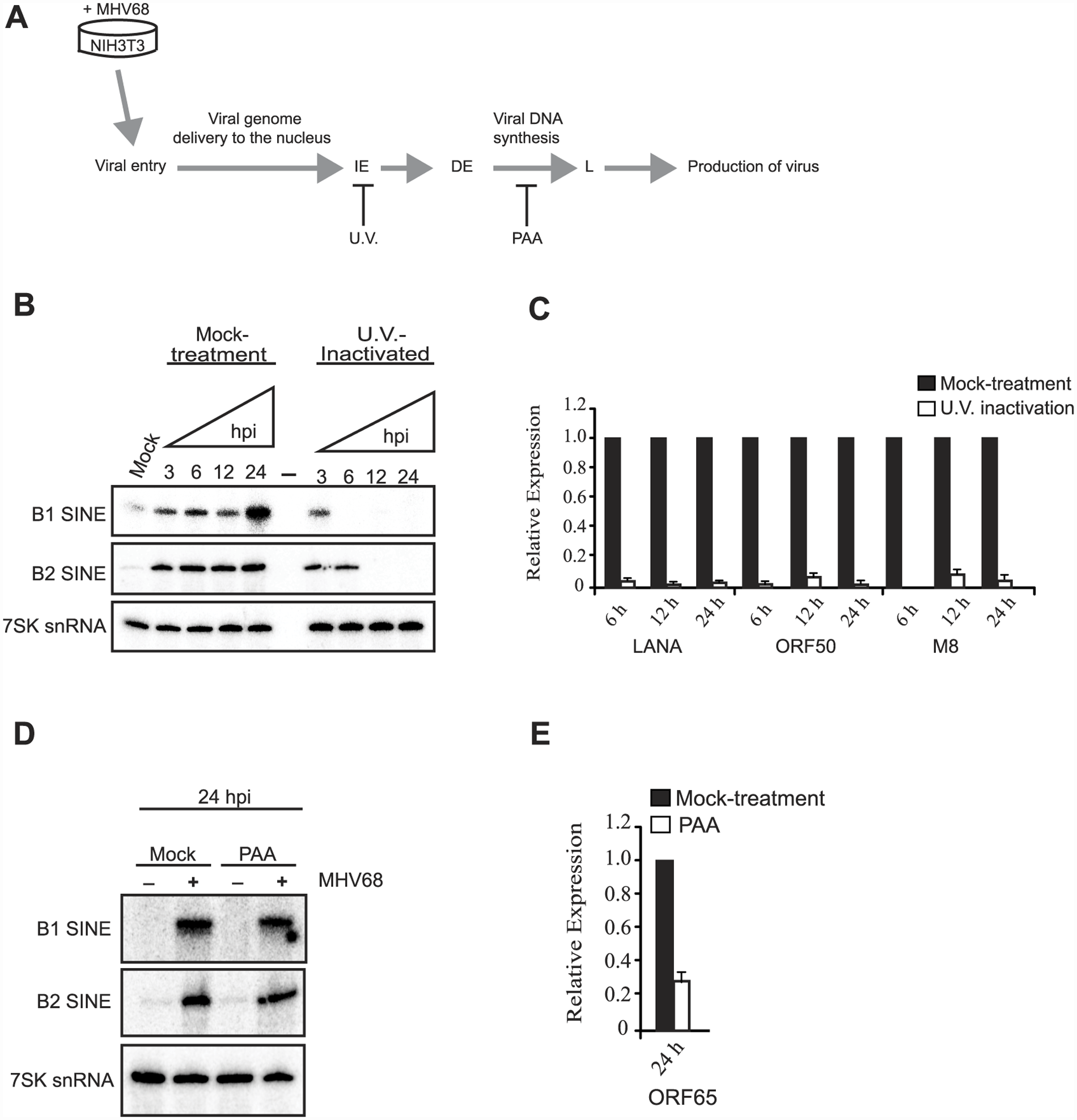 Viral gene expression is required for sustained SINE expression.