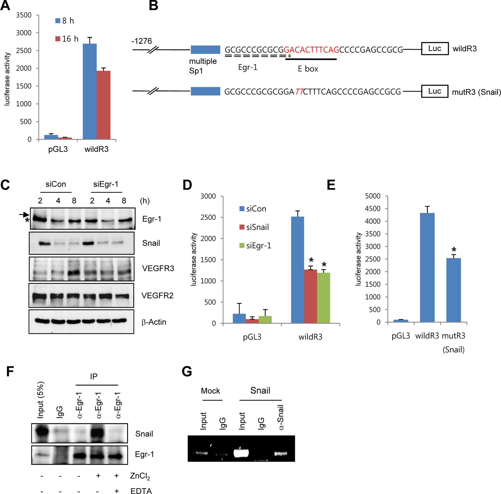 Snail upregulates VEGFR3 transcripts via cooperating with Egr-1.