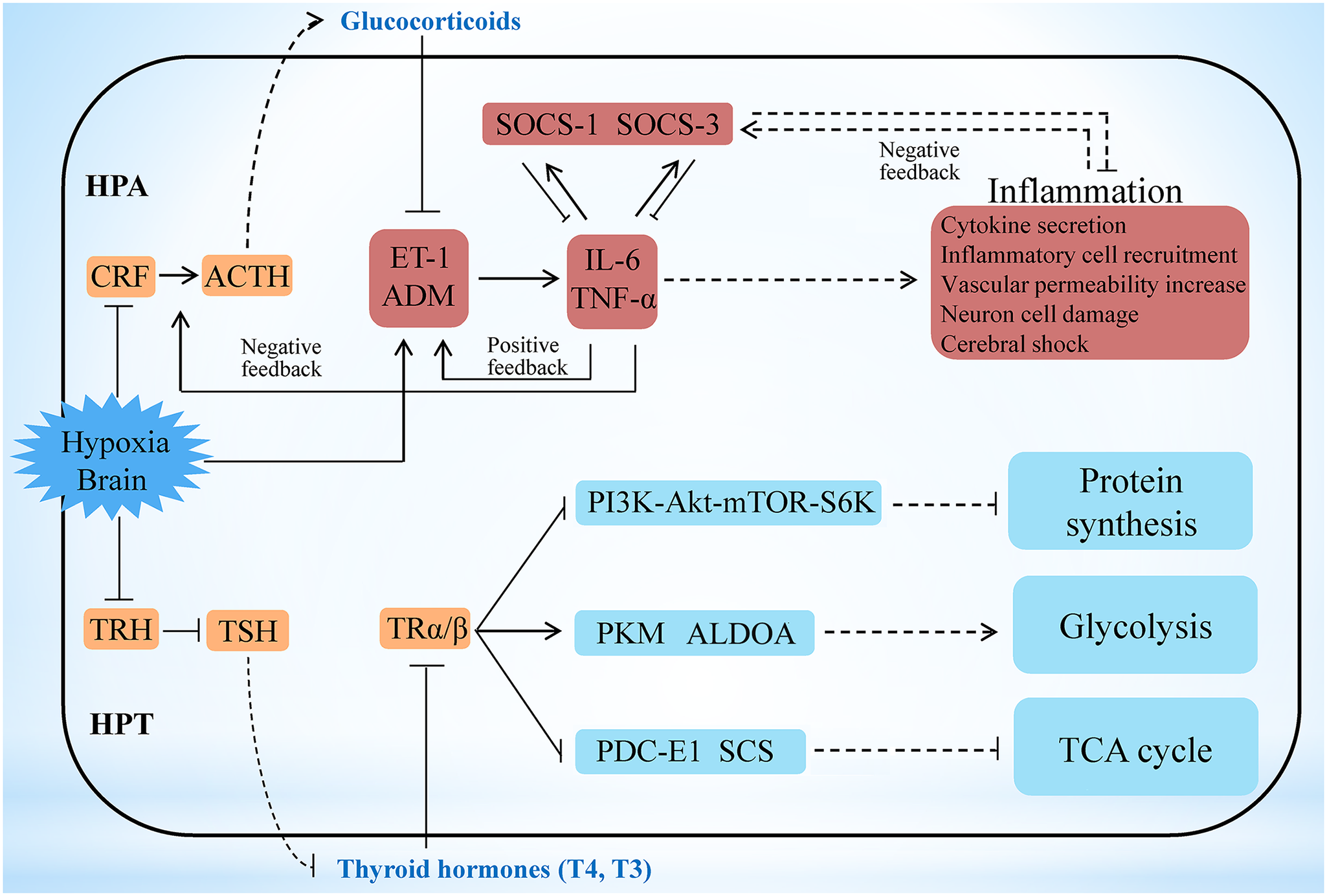Hypoxia stress exerts responses involving the HPA and HPT axes.