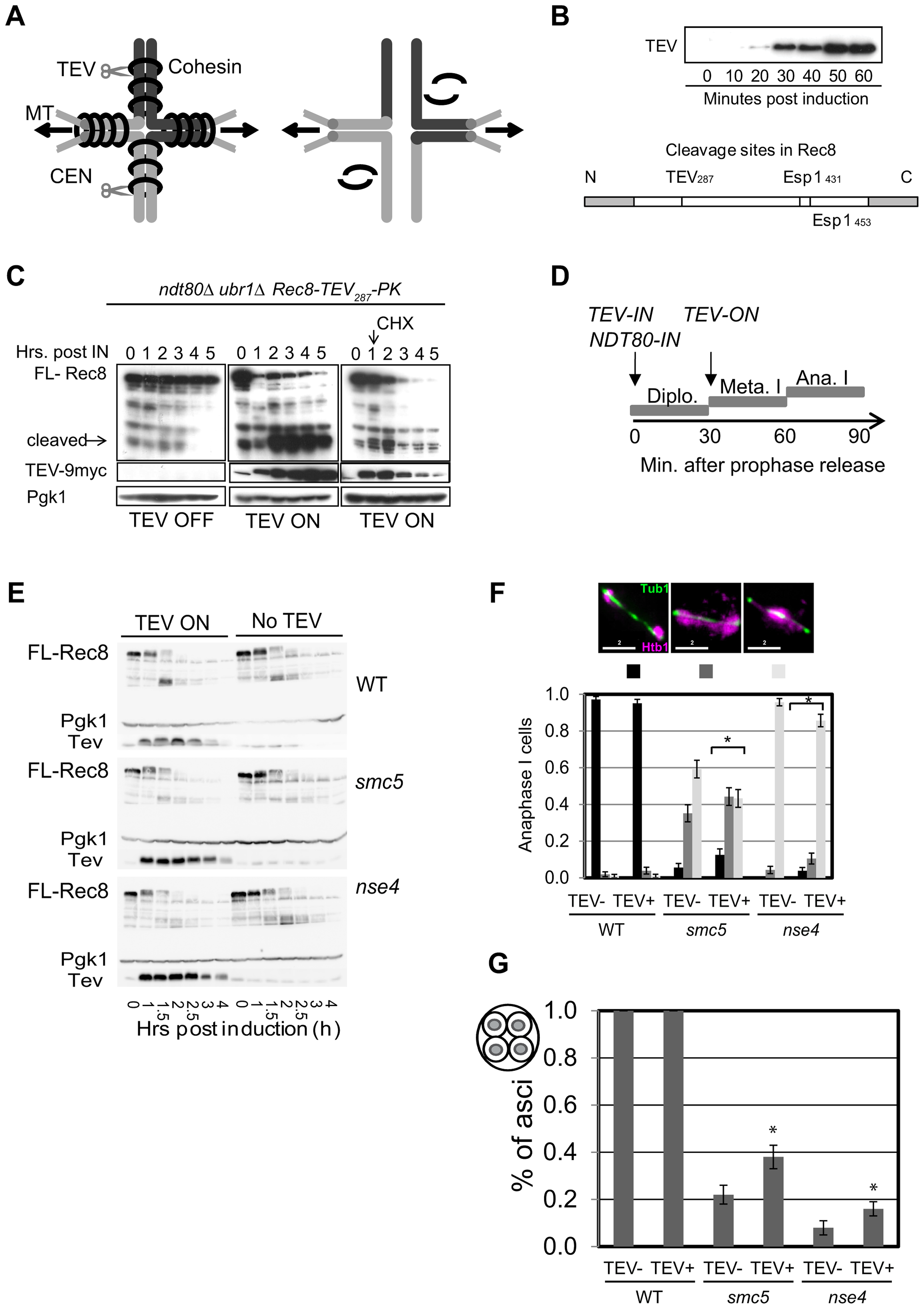 Retained arm cohesin at anaphase I contributes to the chromosome resolution defect in the <i>smc5</i> and <i>nse4</i> mutants.