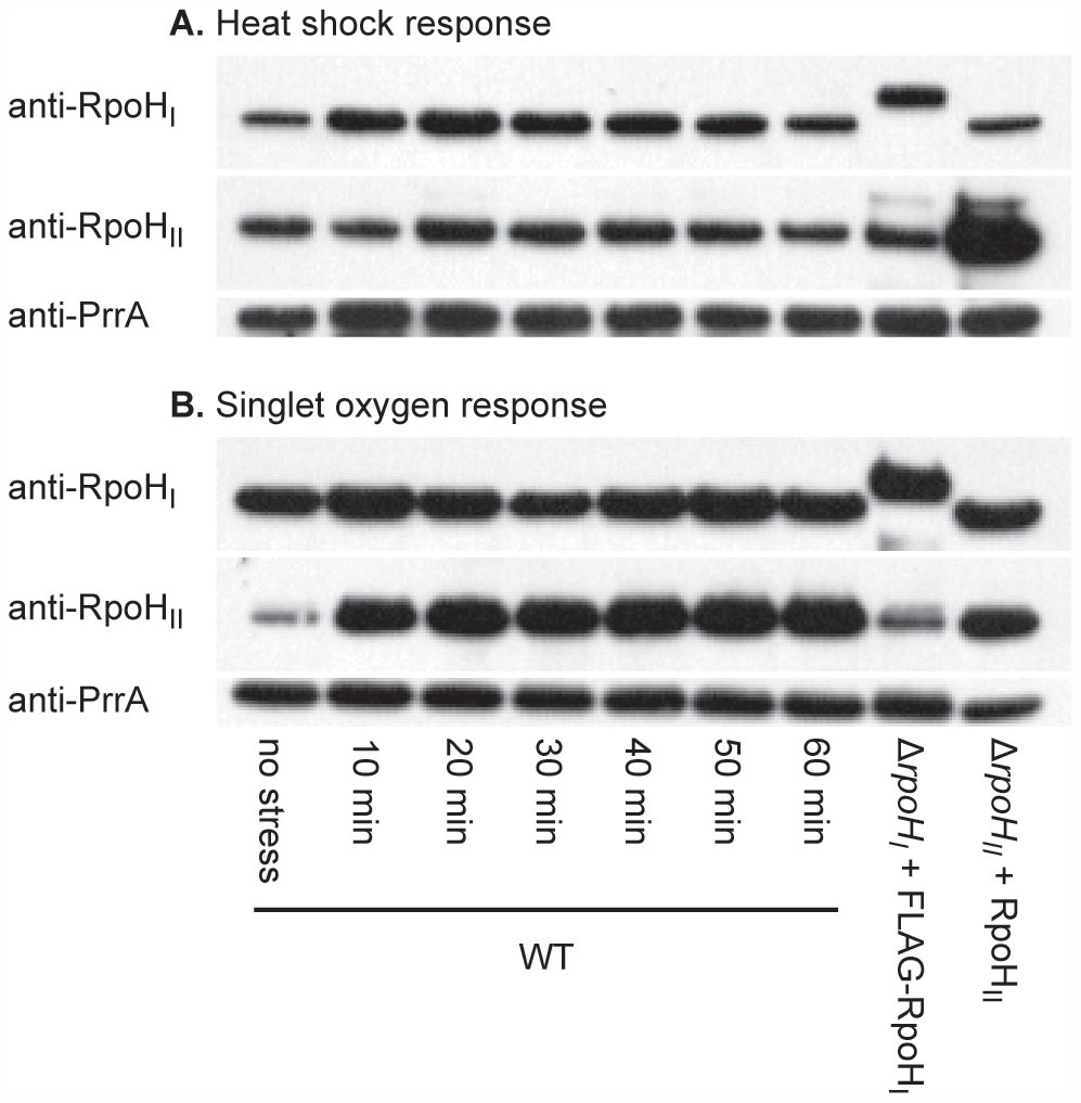 RpoH<sub>I</sub> and RpoH<sub>II</sub> accumulation following heat and singlet oxygen stresses.
