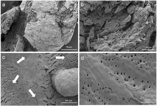 Scanning electron microscopic sphere and cell investigation. SEM images of the outer epithelial-like shell of a cell sphere (a) and the less organized cells with a higher production of extracellular matrix inside the sphere (b). Figure (c) shows a pulp sphere attached onto bovine dentin with a high number of outgrowing, multilayered cells as well as flat spread out and attached cells on bovine root dentin (d). The white arrows in figure (4c) highlight the dentin tubule-like holes in the cell multi-layer.