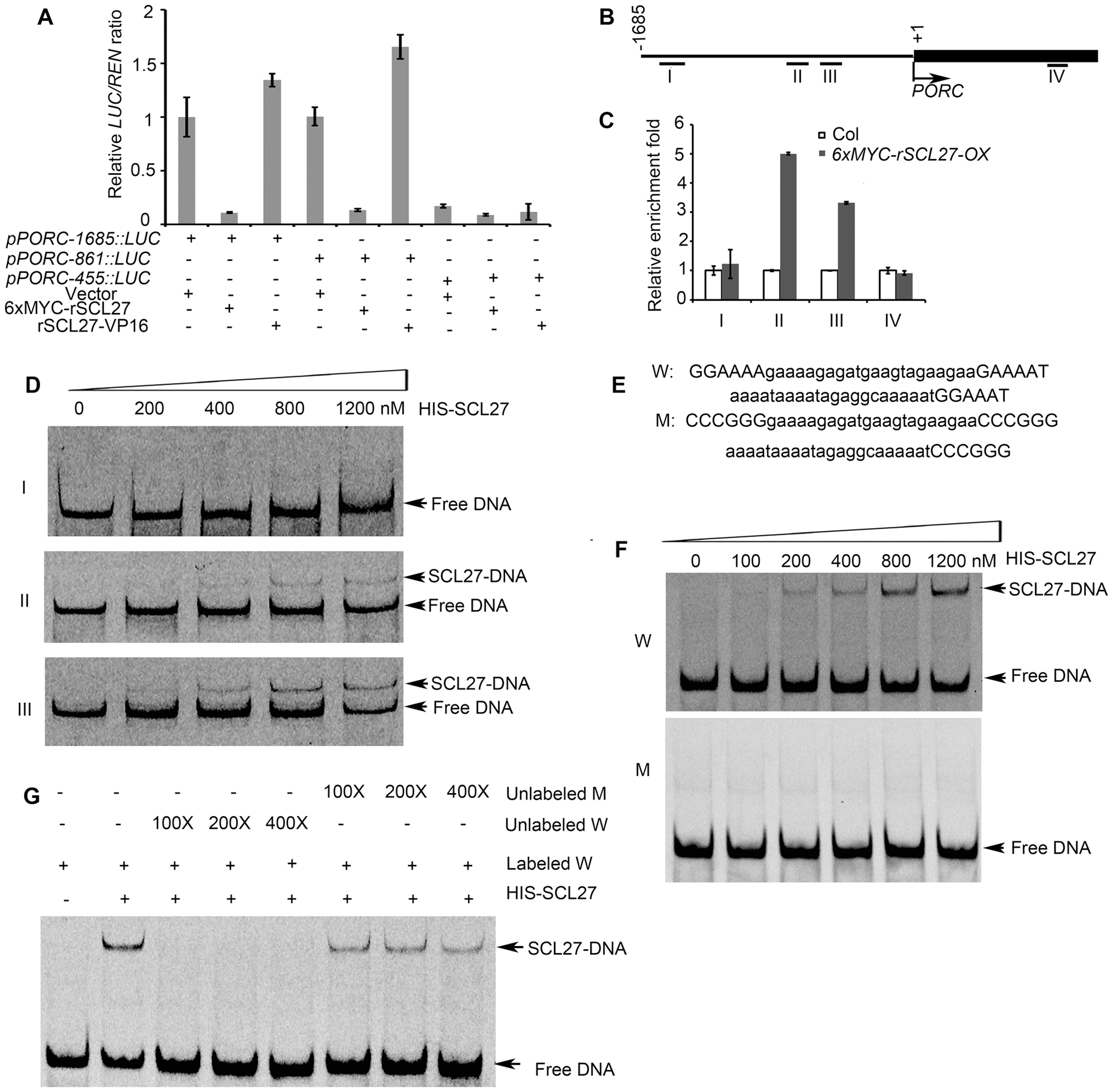 SCL27 binds to the <i>PORC</i> promoter.