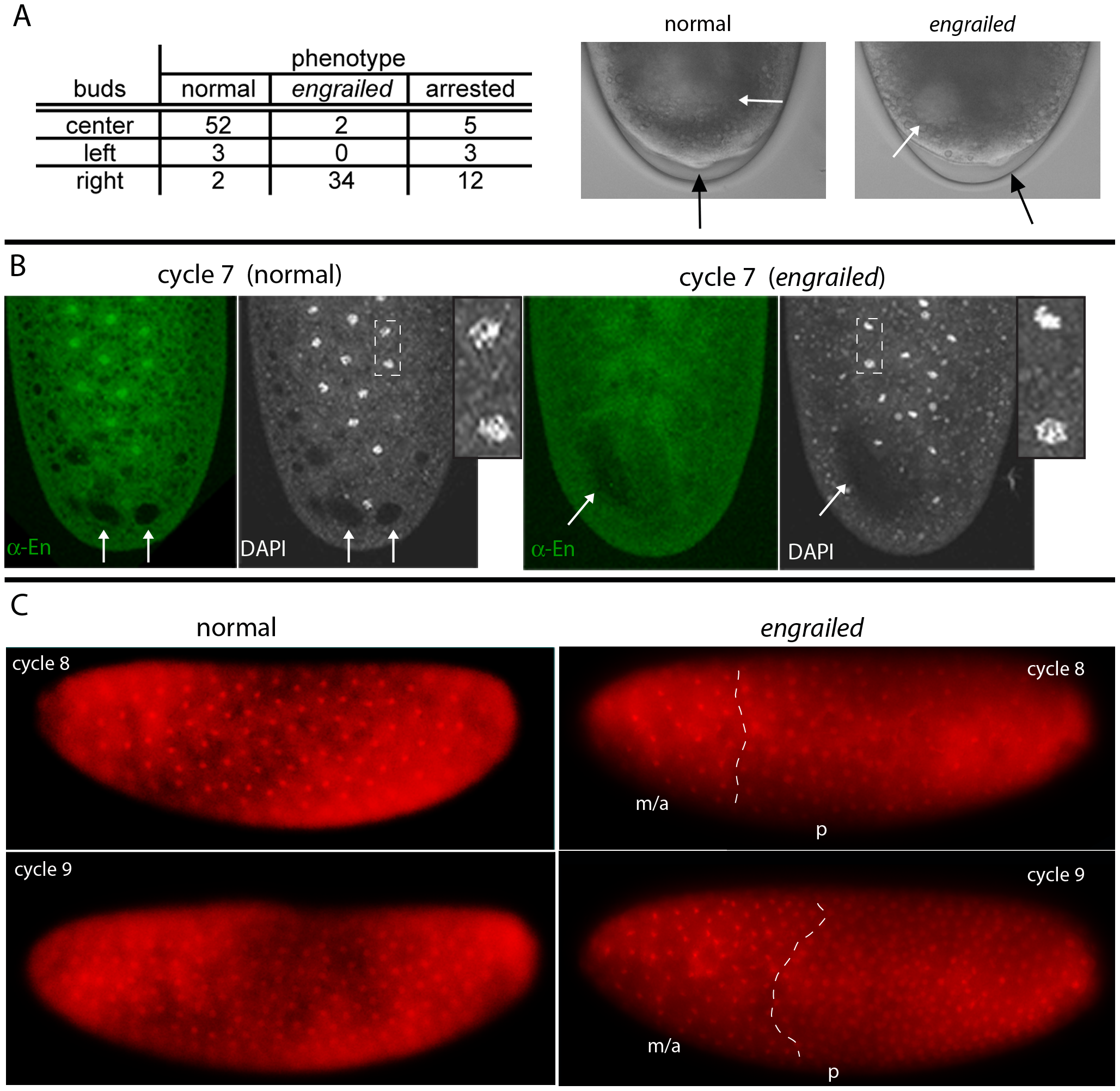 <i>engrailed</i> mutant phenotypes in pre-cellular embryos.