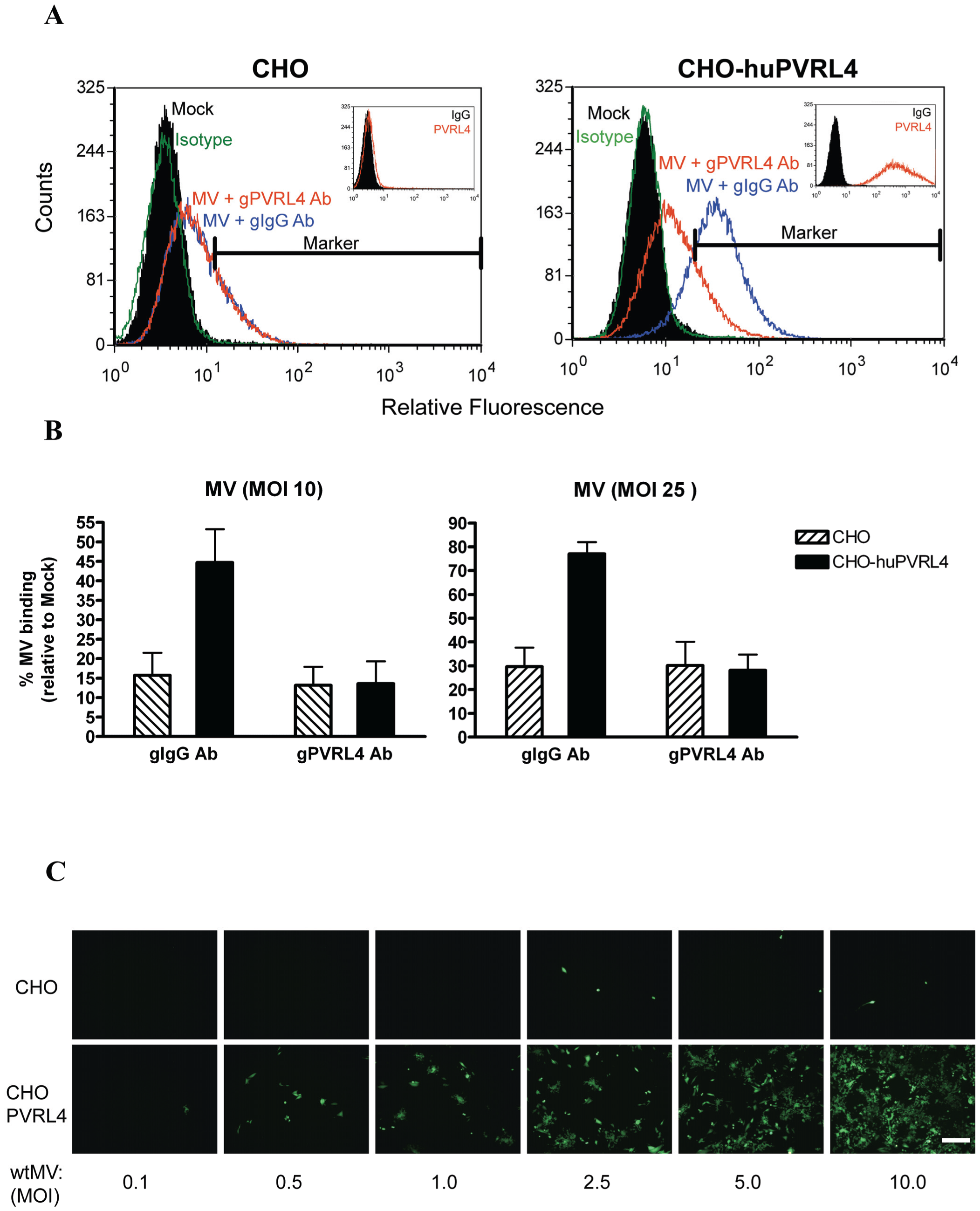 IC323 wtMV binds to cells that stably express human PVRL4.