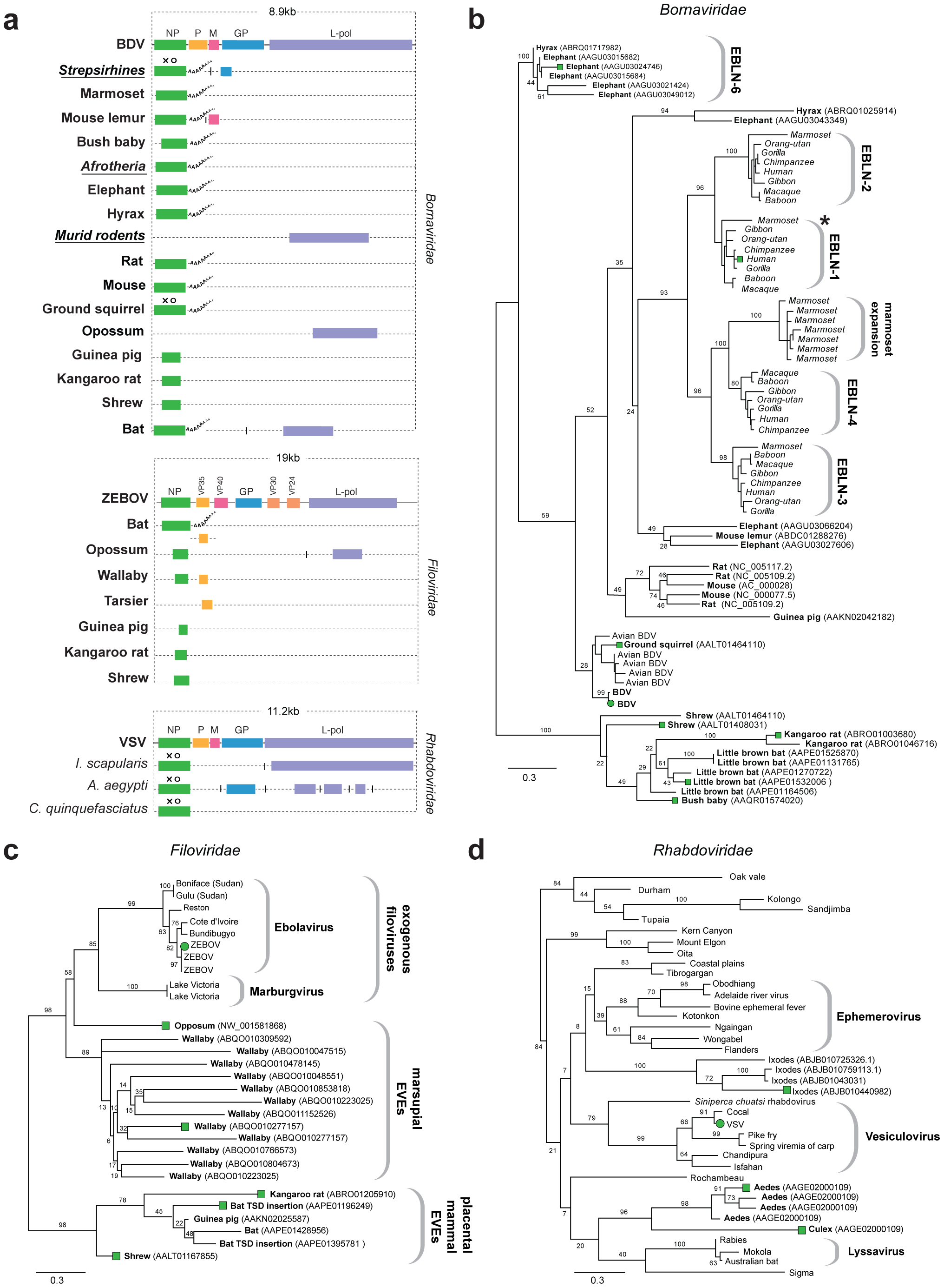 Genetic structures and phylogenetic relationships of Mononegavirus EVEs.