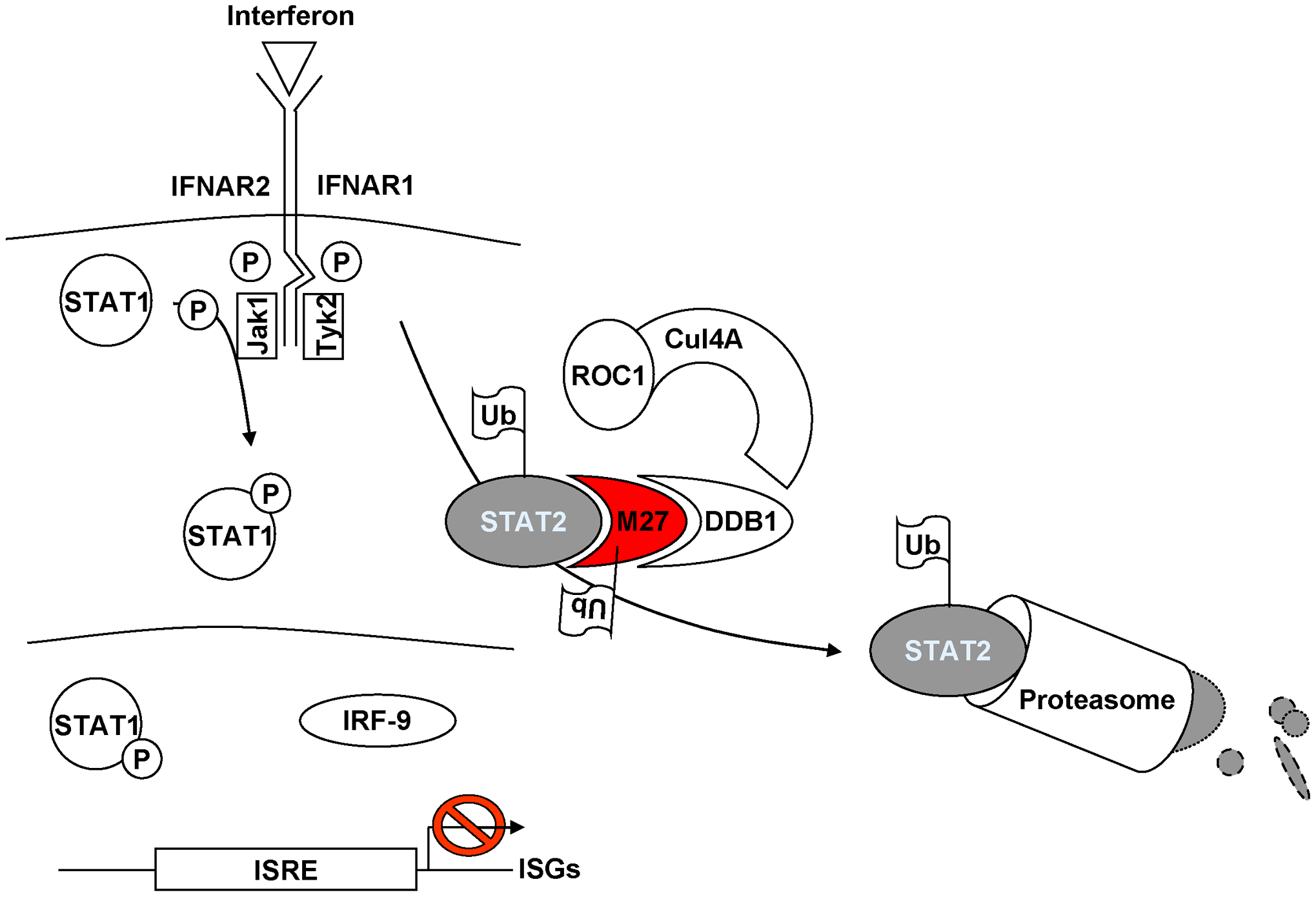 Current model of pM27 function.