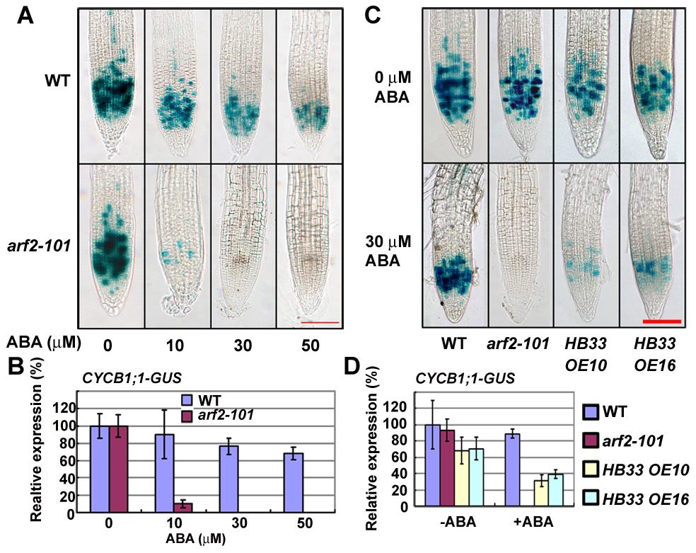 ABA treatment significantly reduces the expression of <i>CYCB1;1</i> in <i>arf2-101</i> and <i>HB33</i> overexpressing plants.