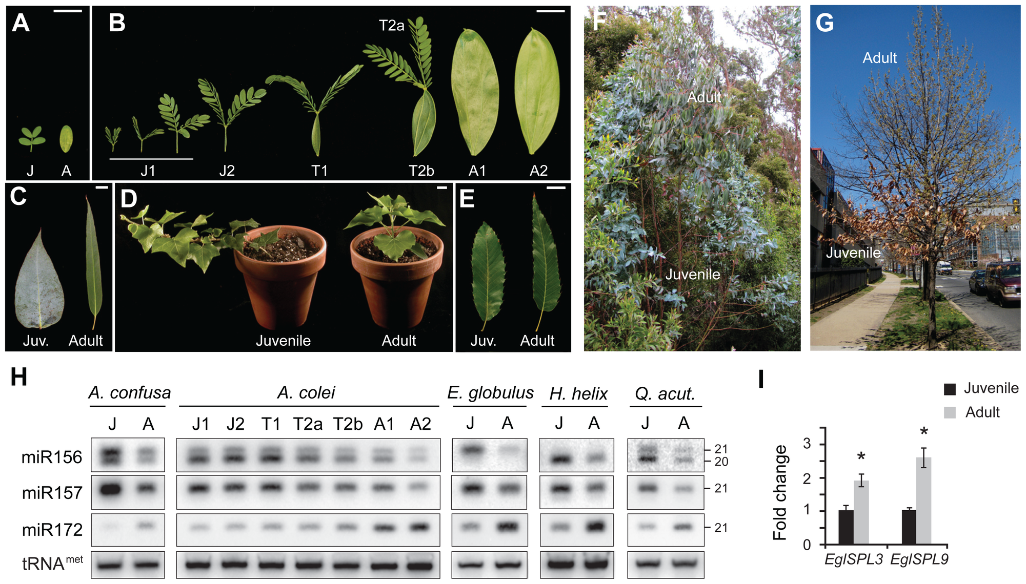 The expression of miR156 and its targets is correlated with vegetative phase change in woody plants.