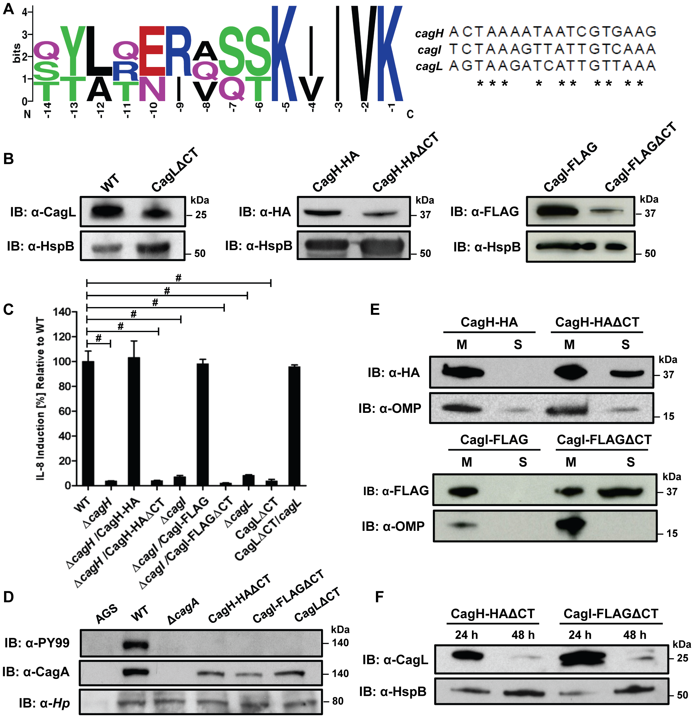 Analysis of a conserved C-terminal motif in CagH, CagI, and CagL.