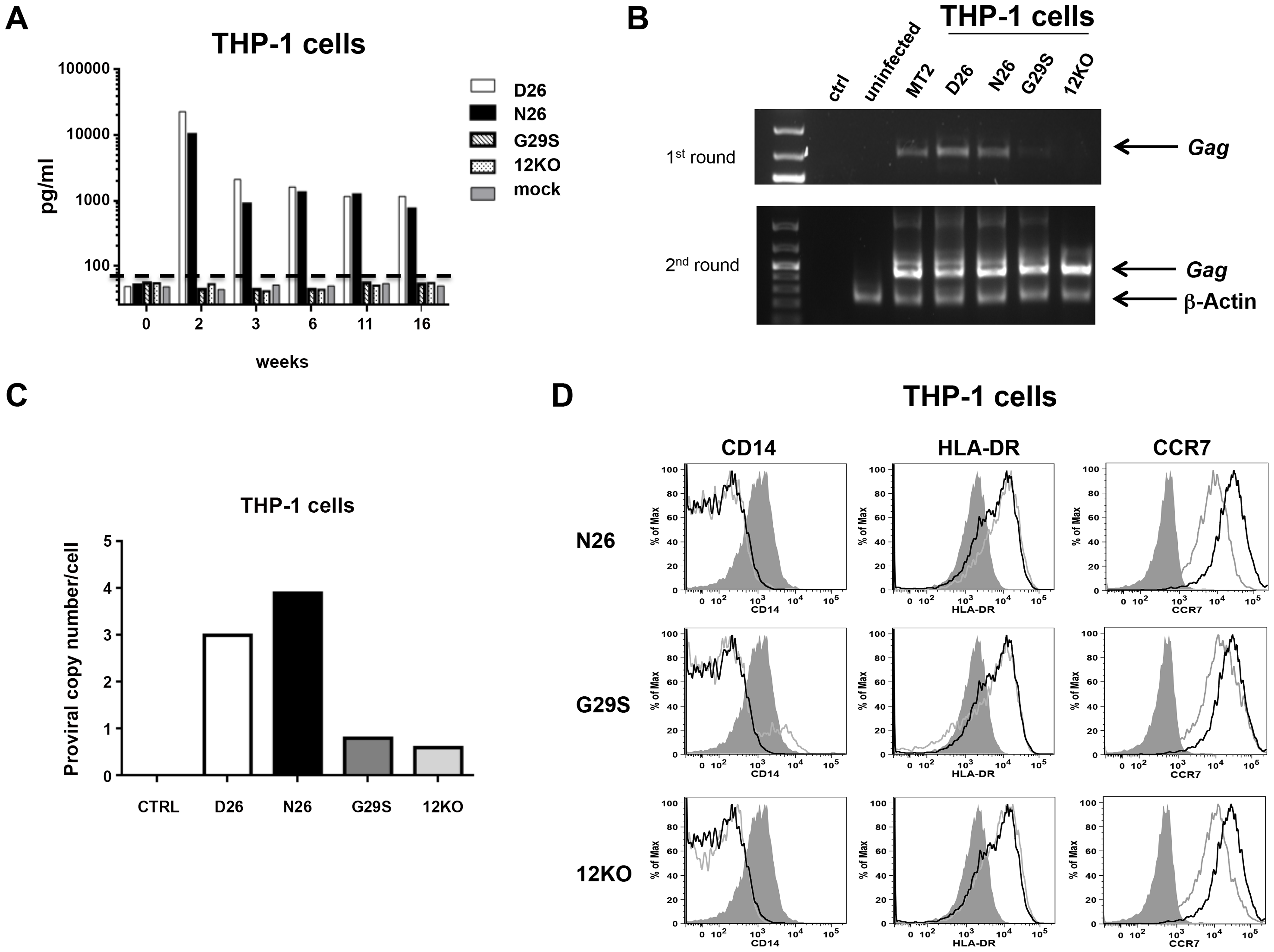 HTLV-1 infection of the monocytic cell line THP-1.