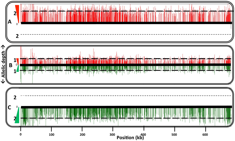 Comparison of homozygous parental SNPs on chromosome 17 of a representative hybrid.