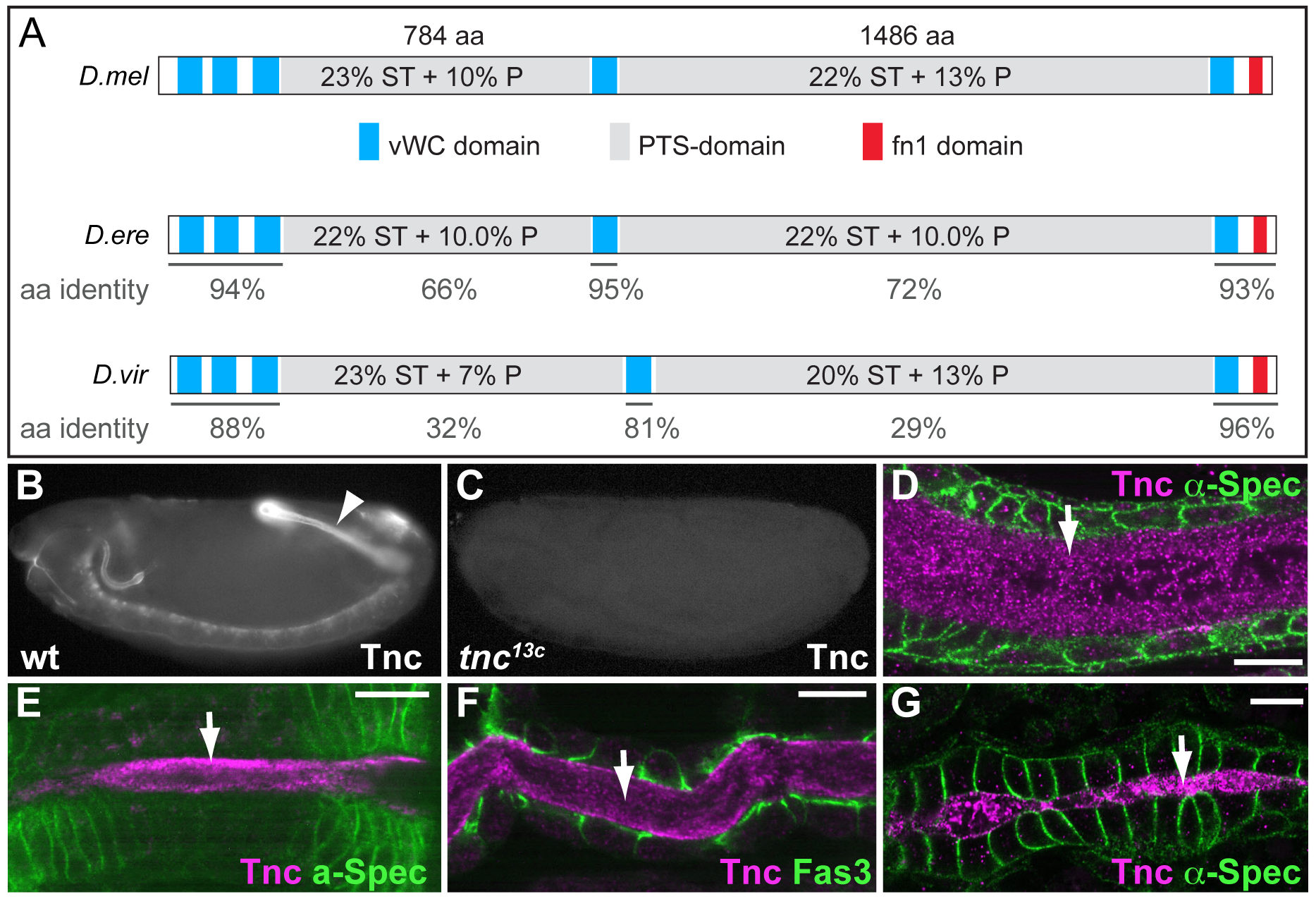 Tnc is a large protein detected in the lumen of developing epithelial tubes.