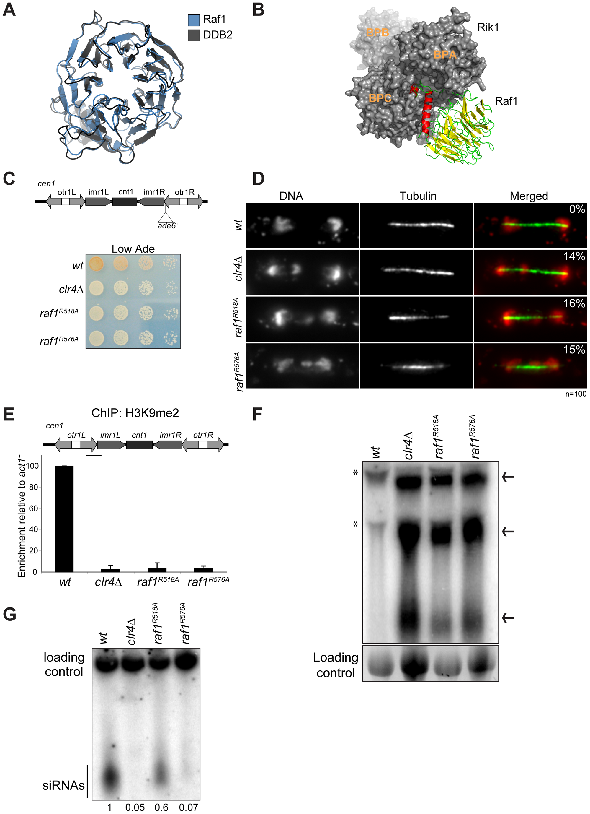 Raf1 is the DCAF for CLRC with WDxR motifs essential for heterochromatin formation.