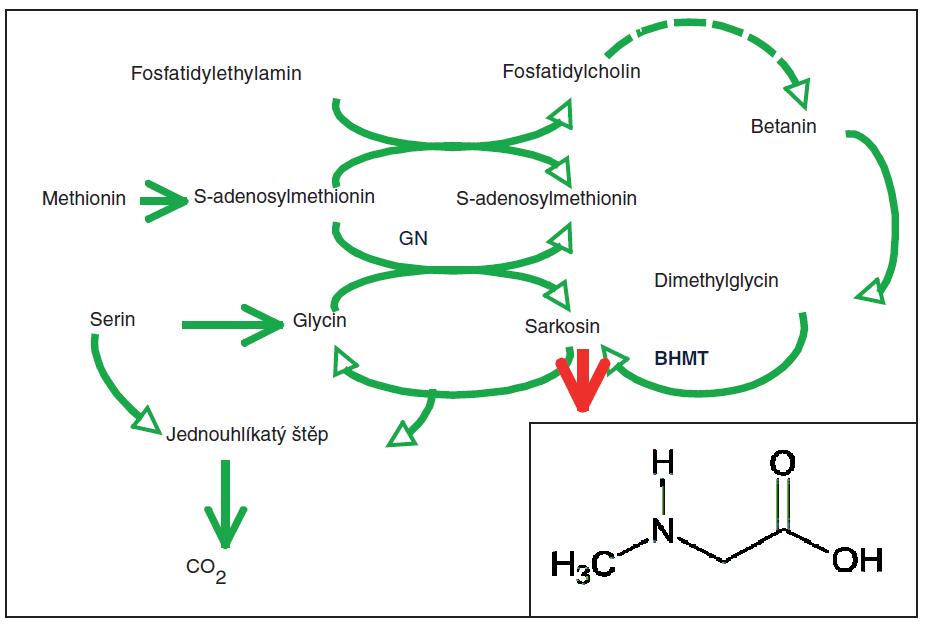 Biochemické dráhy tvorby a oxidace sarkosinu