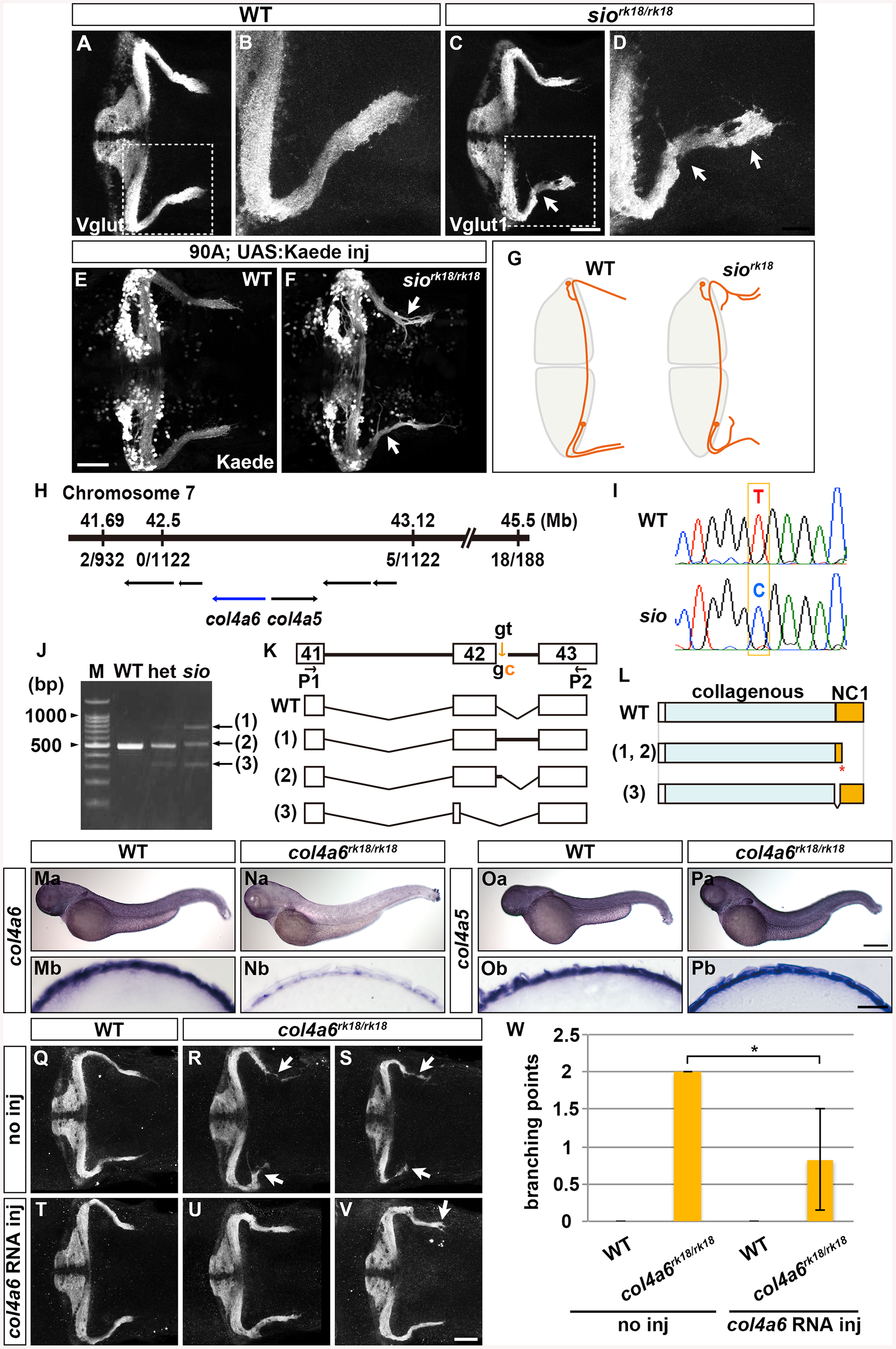 Type IV collagen gene <i>col4a6</i> is required for axogenesis of the GCs in caudolateral lobes.