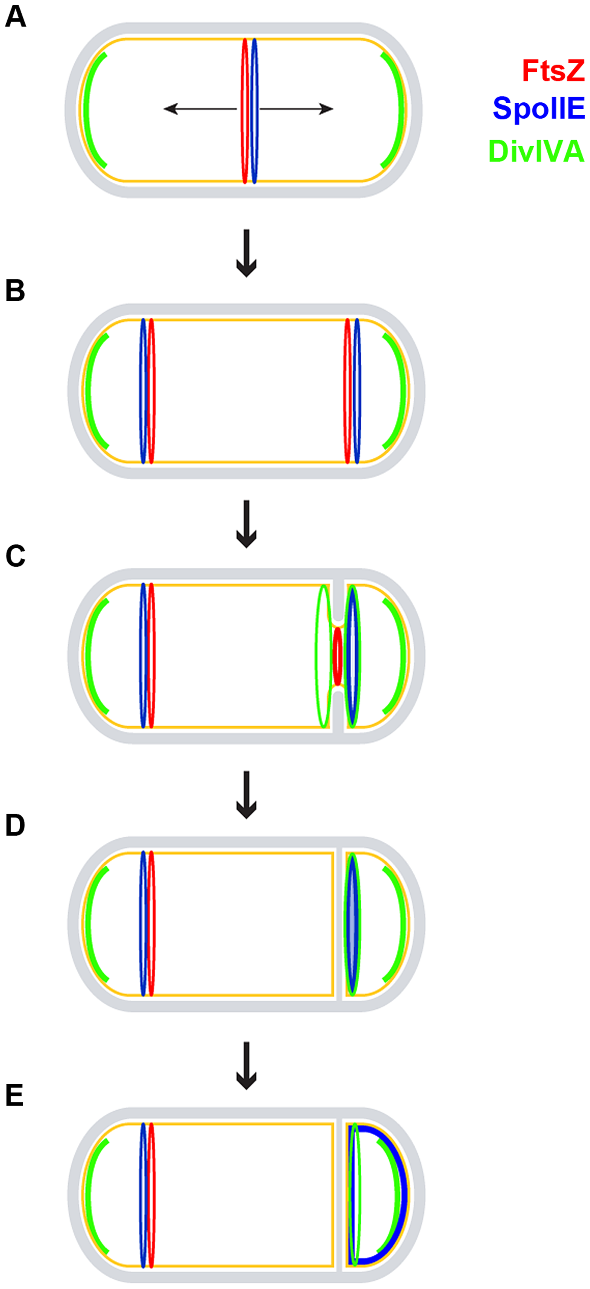 Model for the role of DivIVA during sporulation.