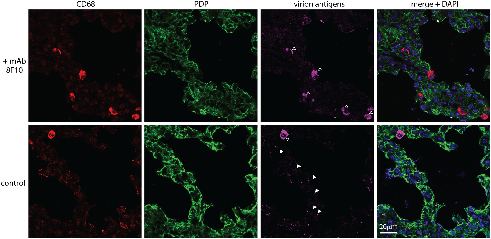 An antibody-mediated block to heparan binding inhibits MuHV-4 interaction with alveolar epithelial cells but not macrophages.